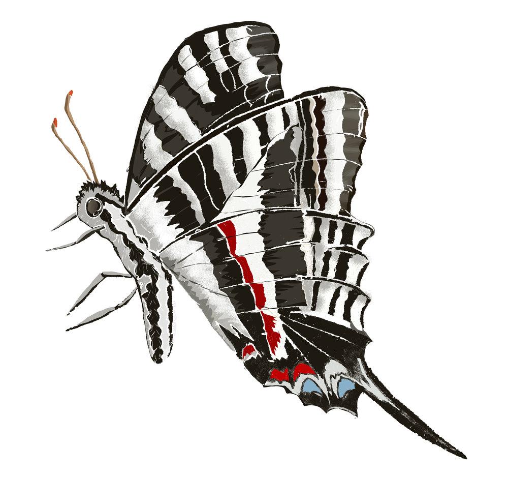 Z - Zebra butterfly