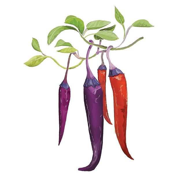 6/6 Chilli Illustrations commissined by @chilligourmets 🌶 These lovely chillies are Purple Haze (capsicum annuum) I love their purple stalks if that's even the correct terminology!❤️💜🖤