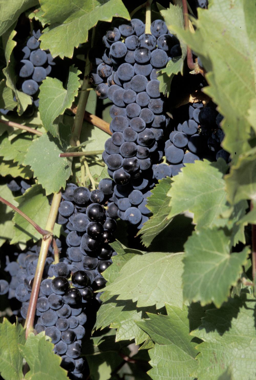 marquette grapes