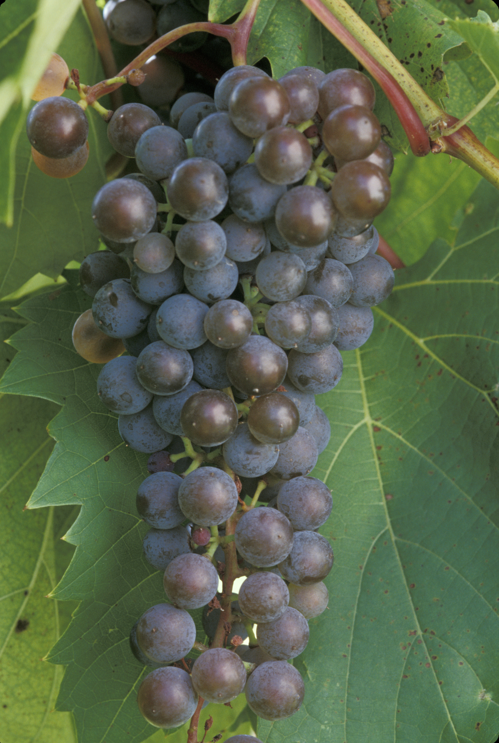 frontenanc gris grapes
