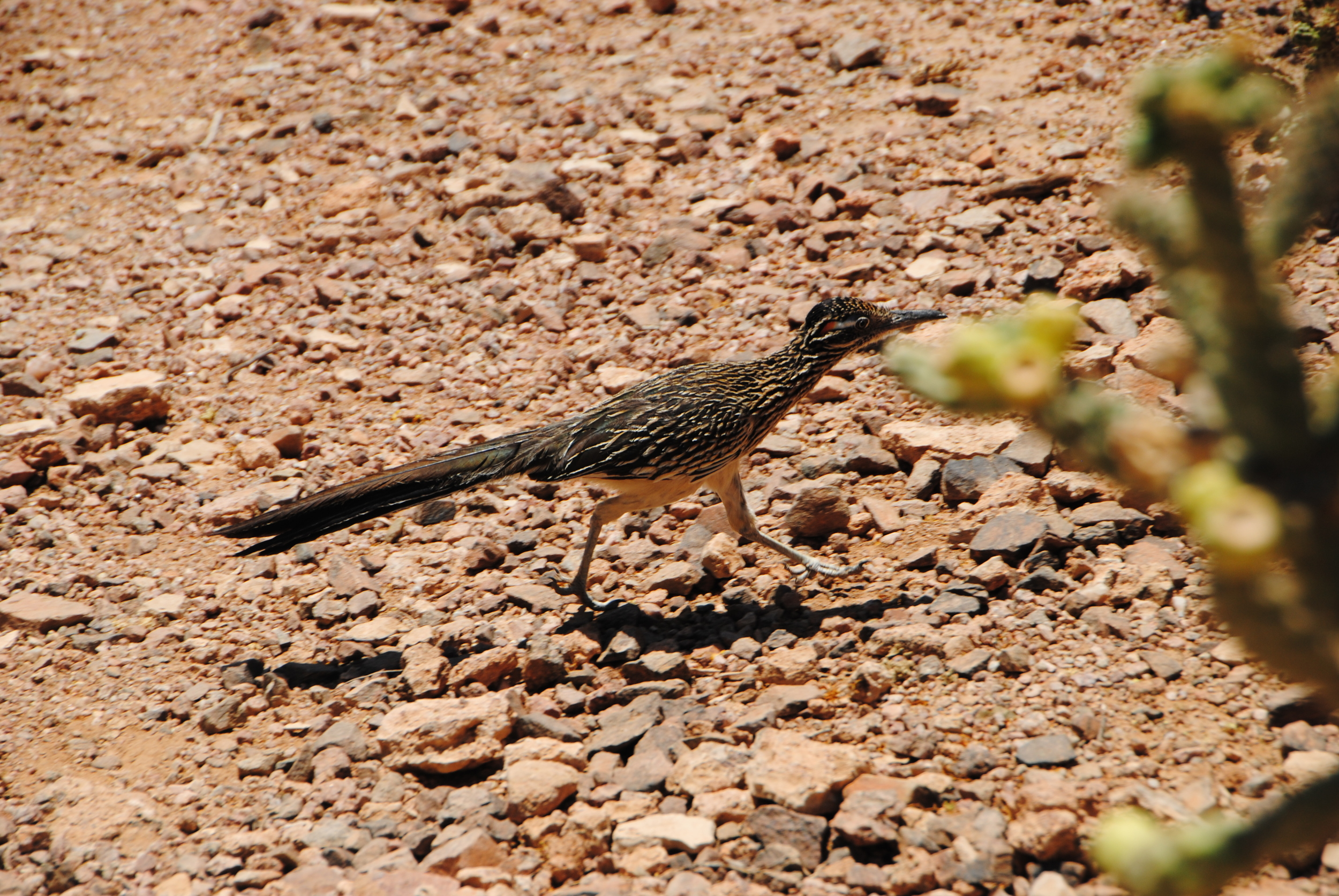Road runner in action - Wile E. Coyote not in pursuit
