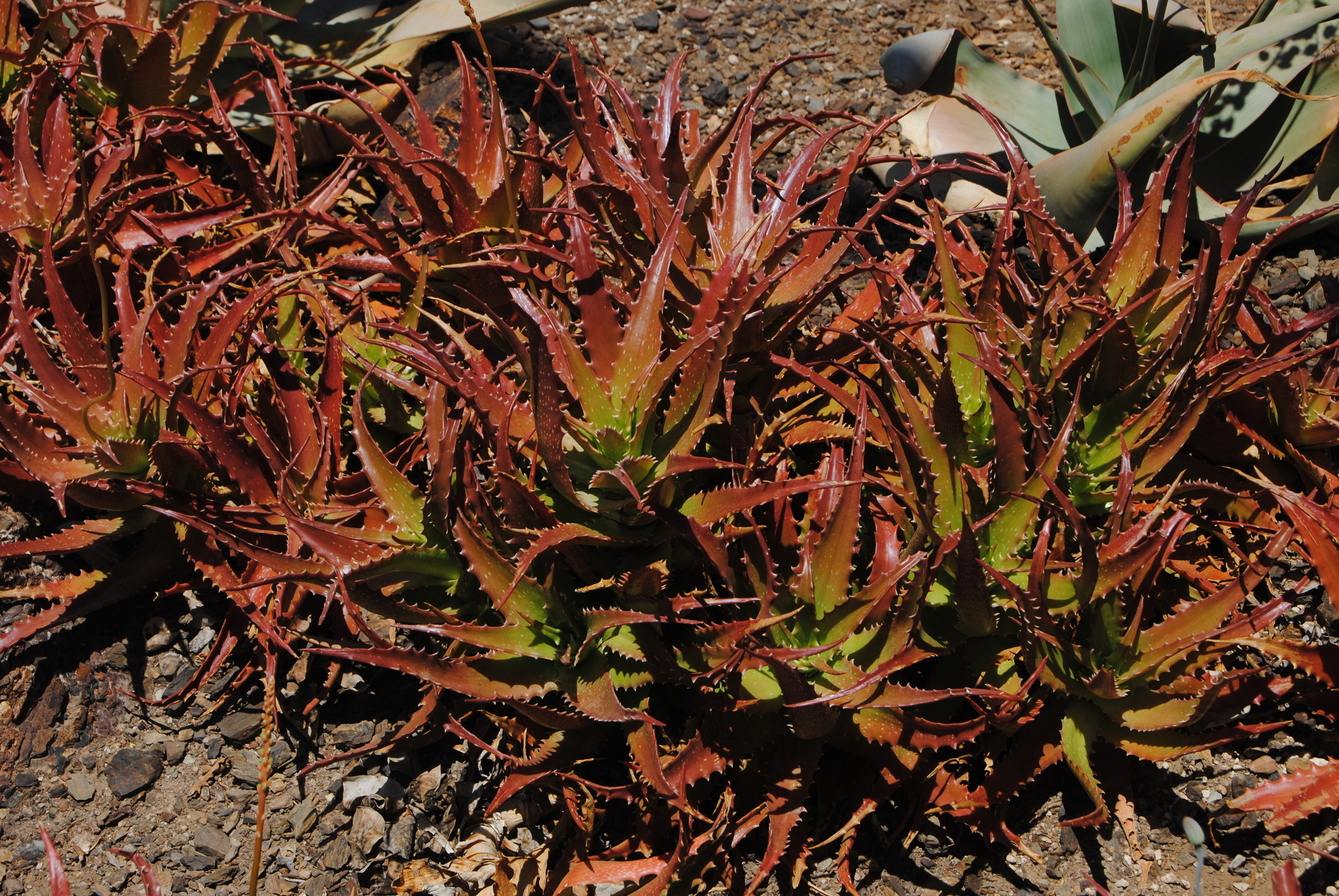 Aloe dorotheae - a critically endangered species from Tanzania