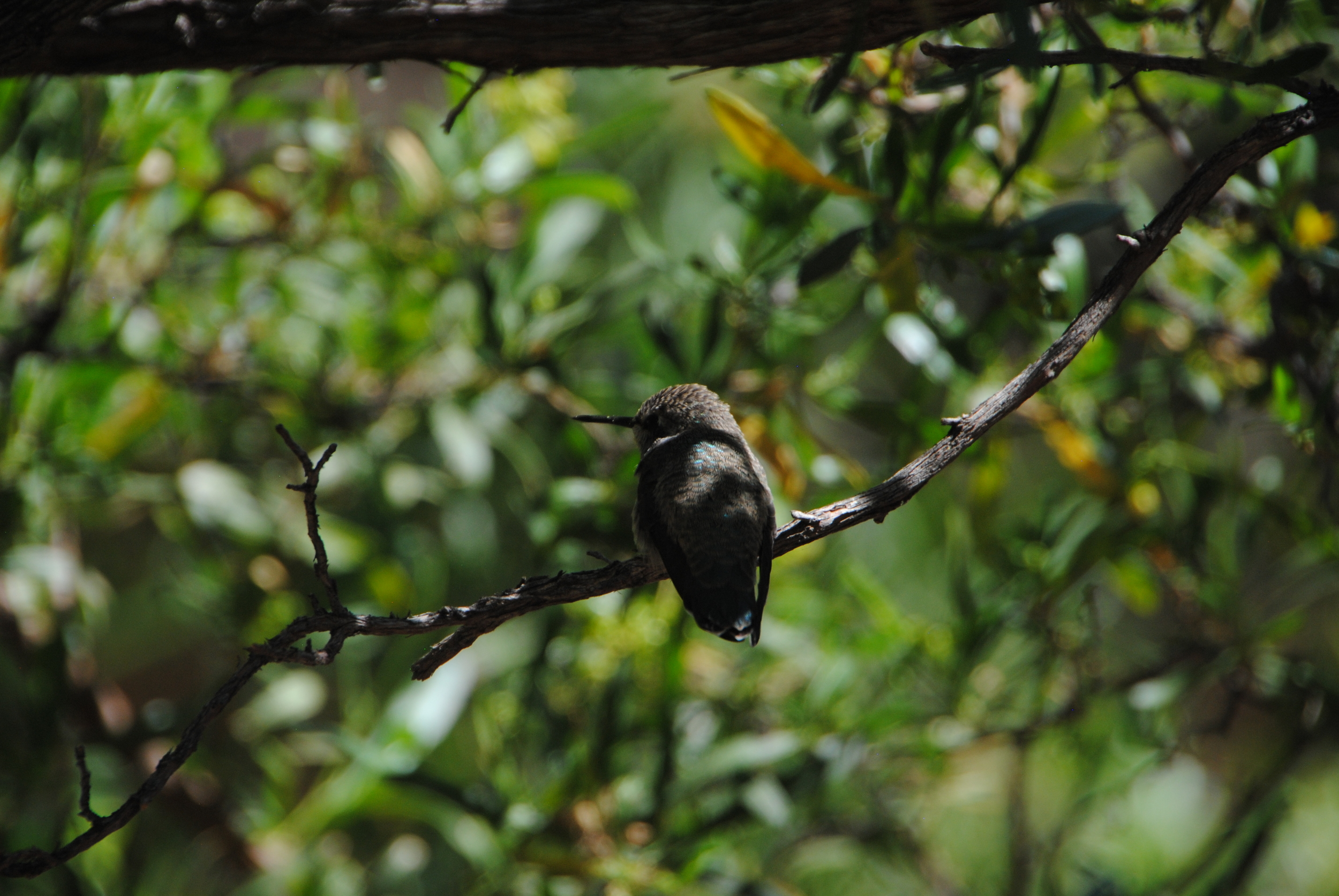 Resting hummer in the enclosed hummingbird exhibit.