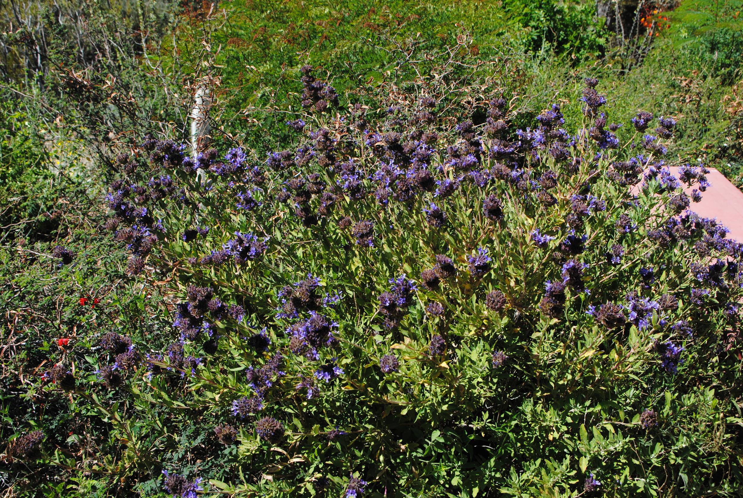 Salvia mohavensis xclevelandii in the Pollinator Garden