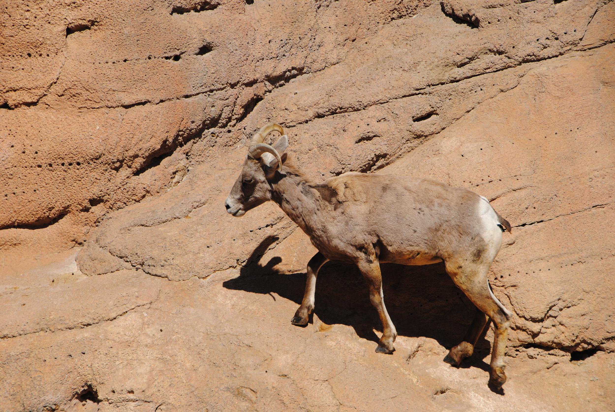 Female desert bighorn sheep.