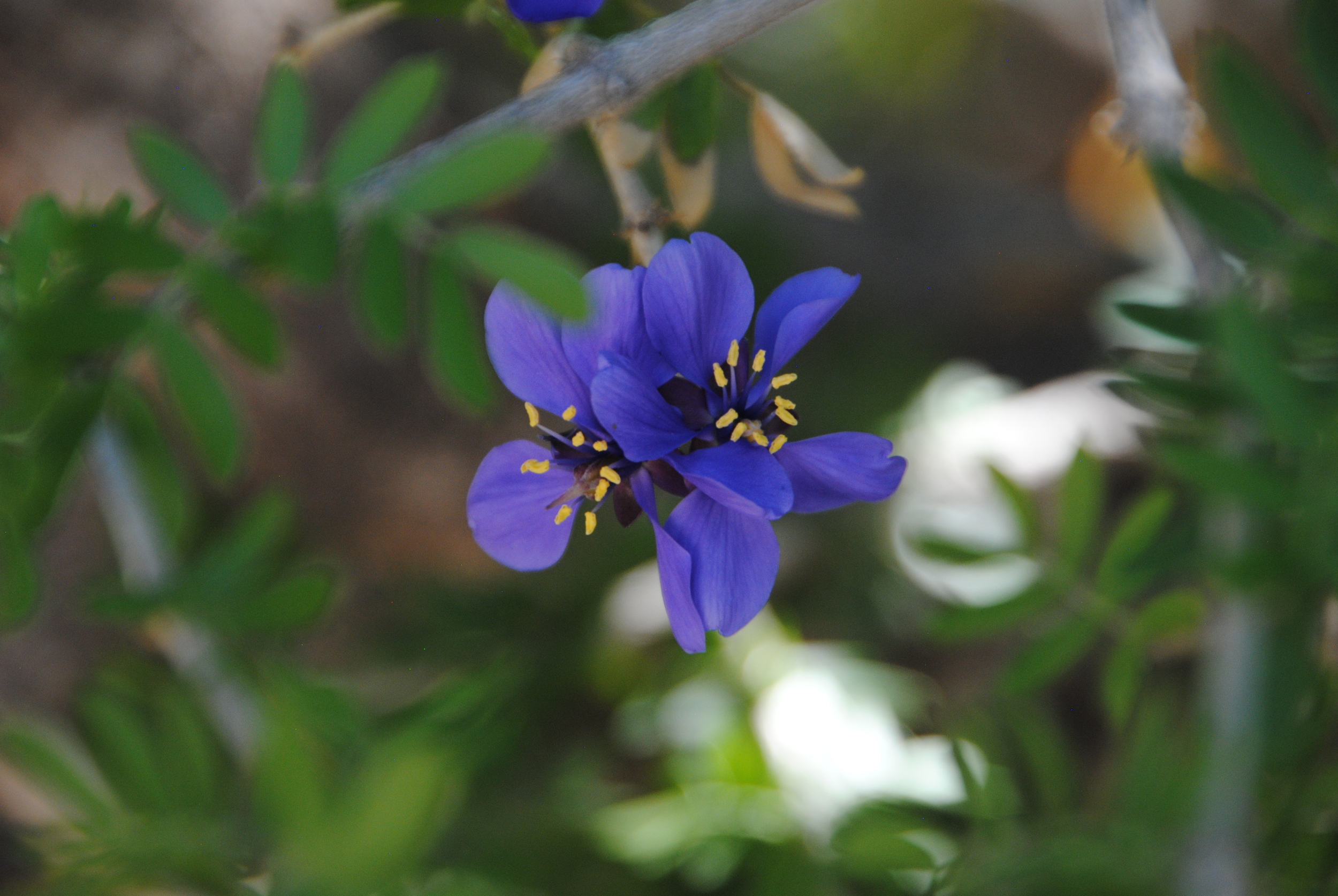 The beautiful blue flowers of the Guaiacum coulteri from Mexico and Guatemala.