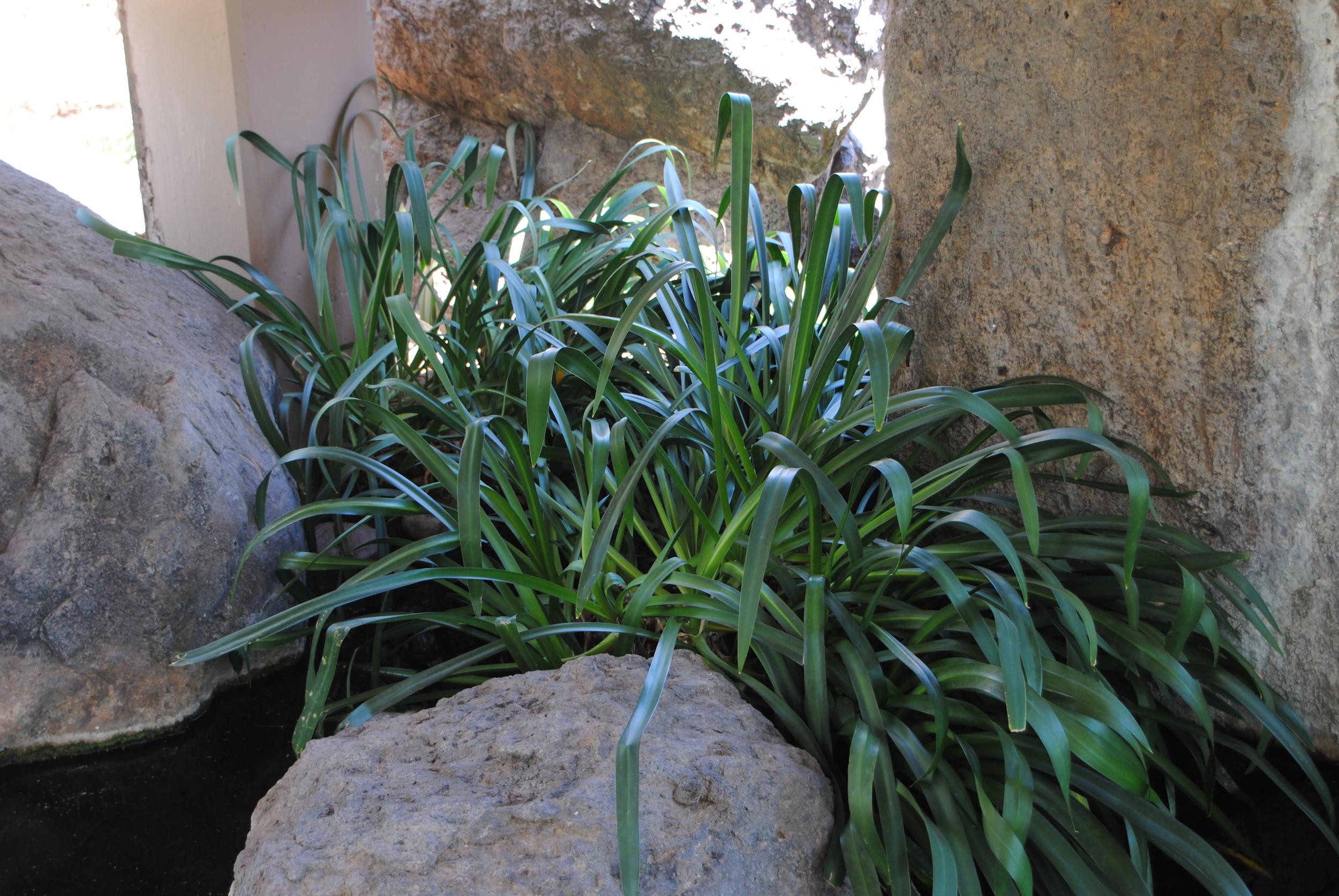 The Hymenocallis sonorensis (Sonoran spiderlily) was unfortunately not in flower.