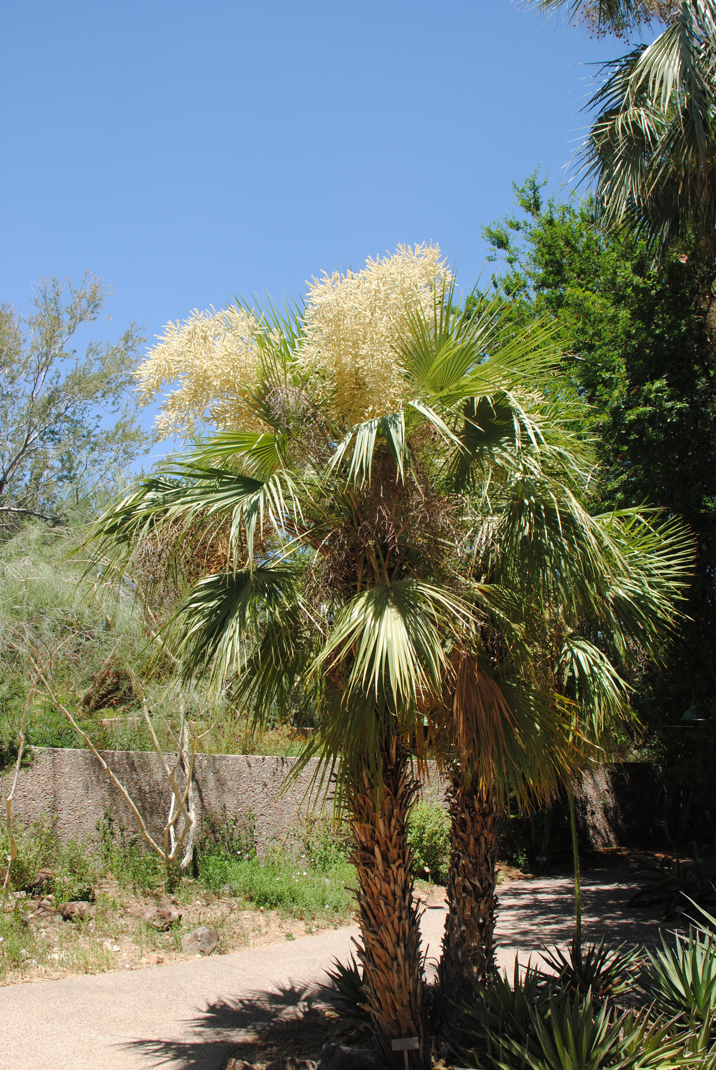 Brahea aculeata is a palm from Mexico which is critically endangered due to severe habitat loss.