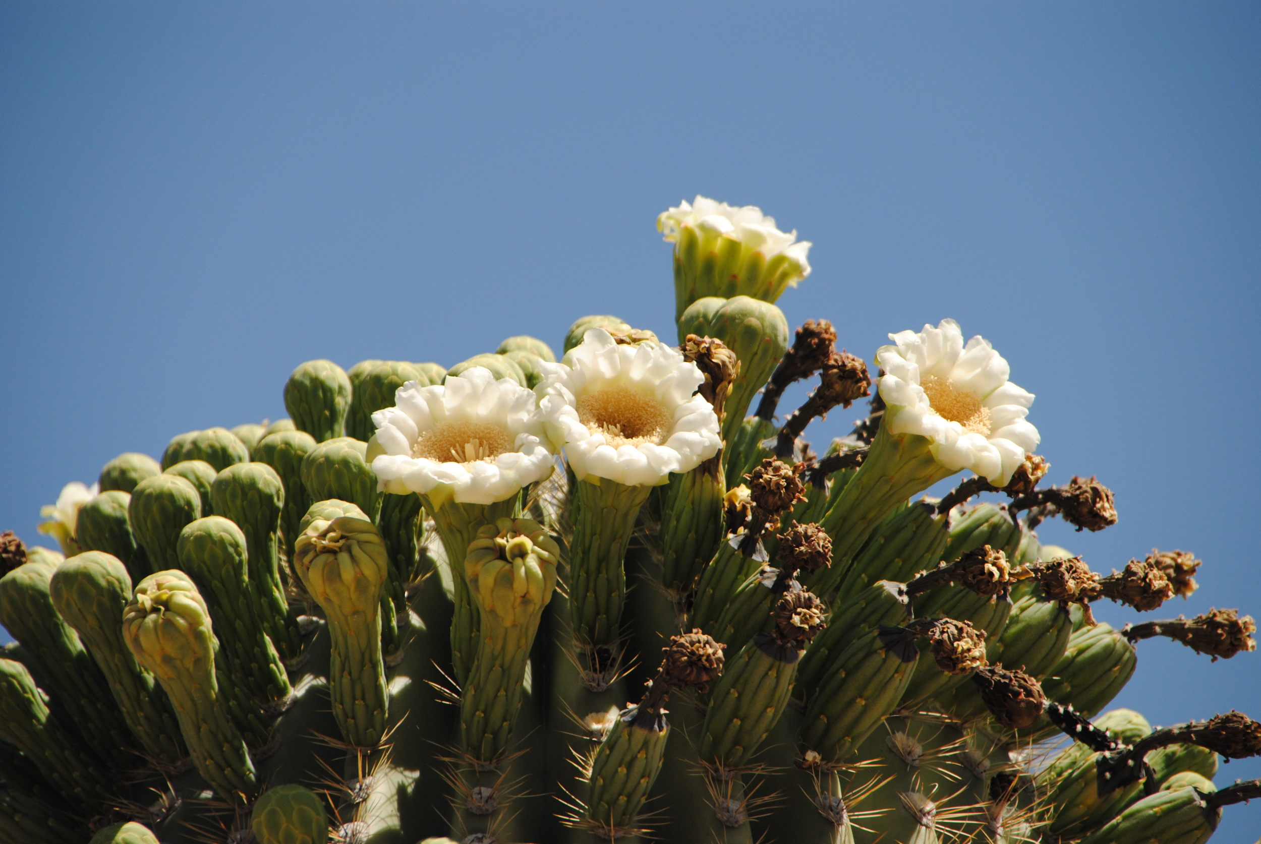 Our visit coincided with the peak flowering of the saguaro cactus.