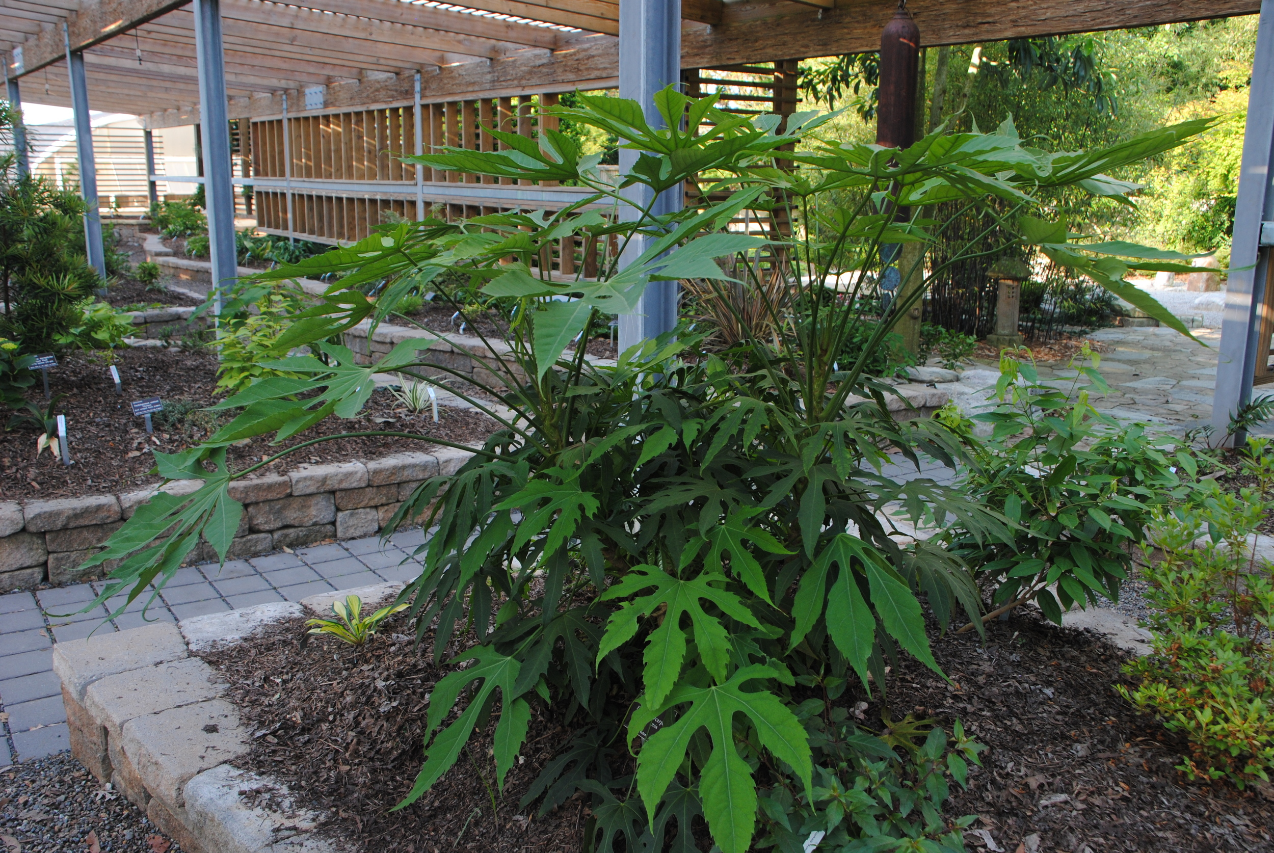 Long petioles, large leaves evergreen leaves, and quick growth make this an outstanding plant.