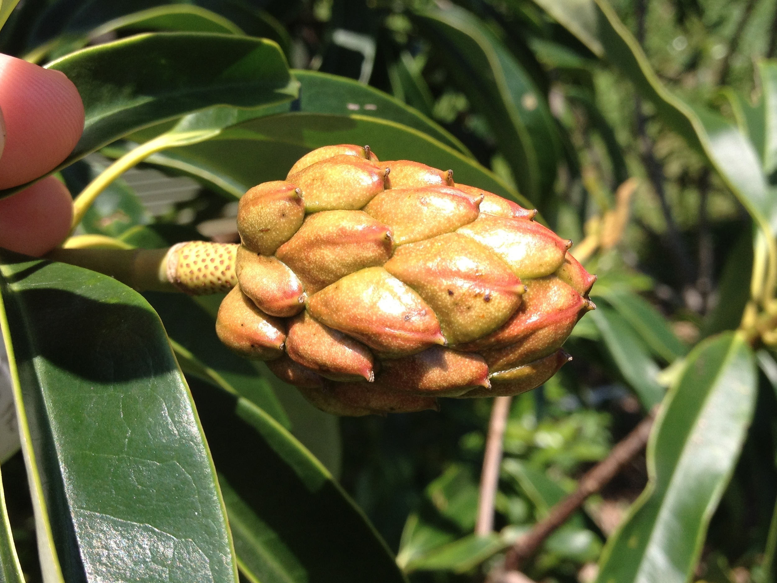 The seedpod is looking good on this Magnolia lotungensis x M. yuyuanensis cross.