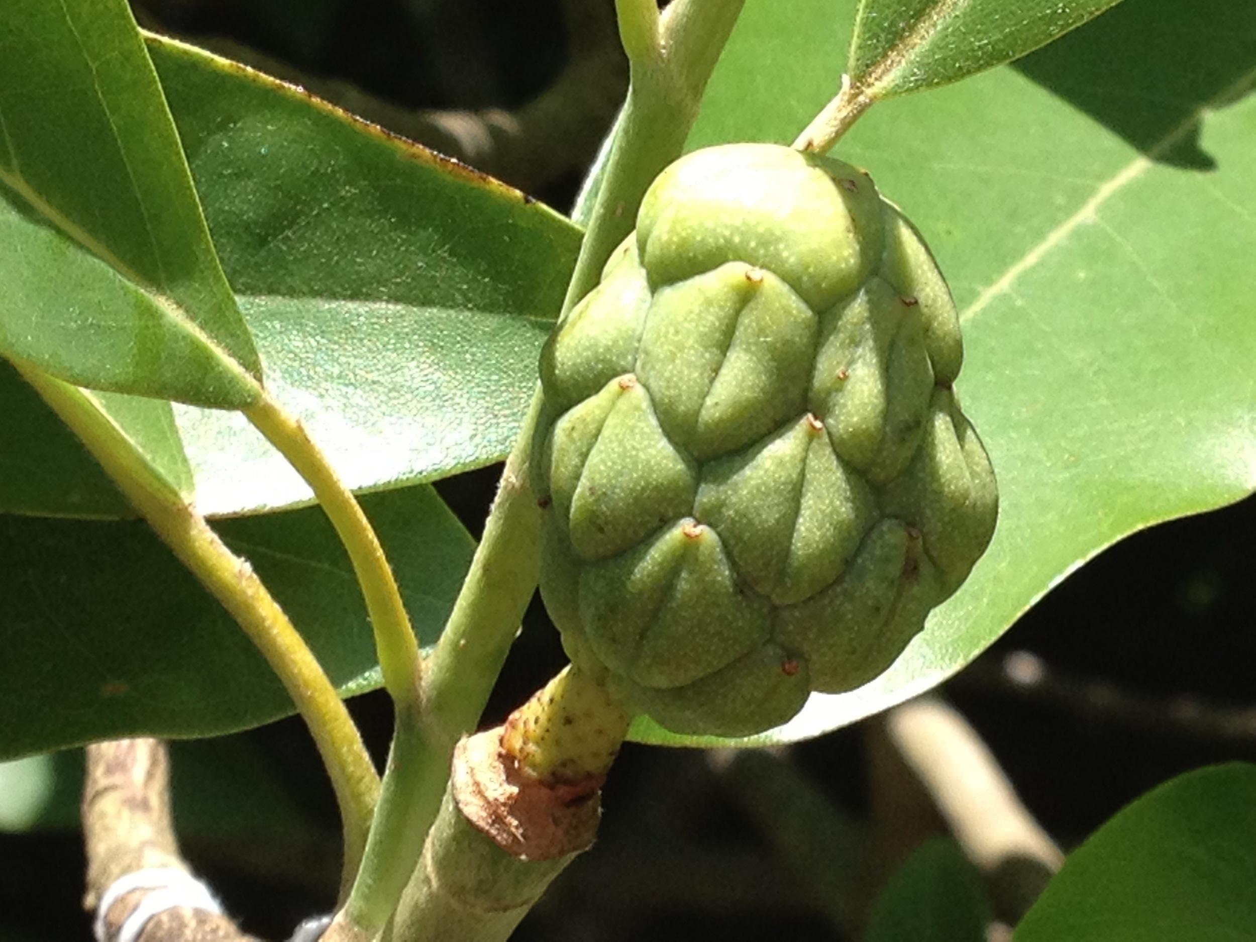 Magnolia virginiana (Louisiana form) x M. lotungensis is looking like it may produce seed.