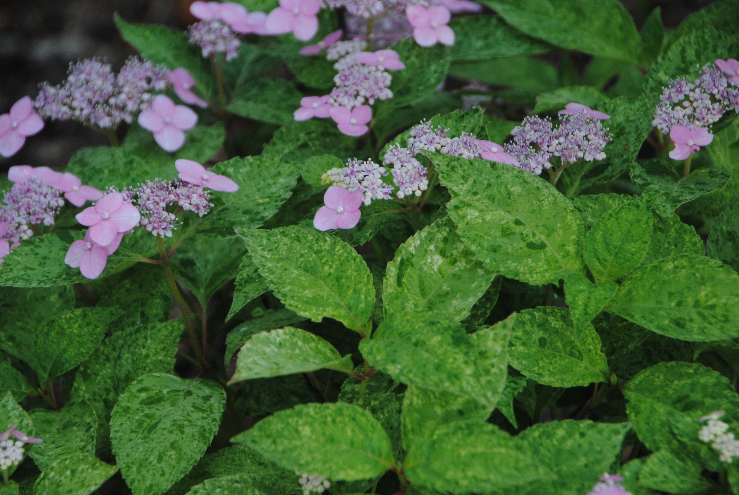 The heavily speckled variegation looks great with the soft pink flowers.