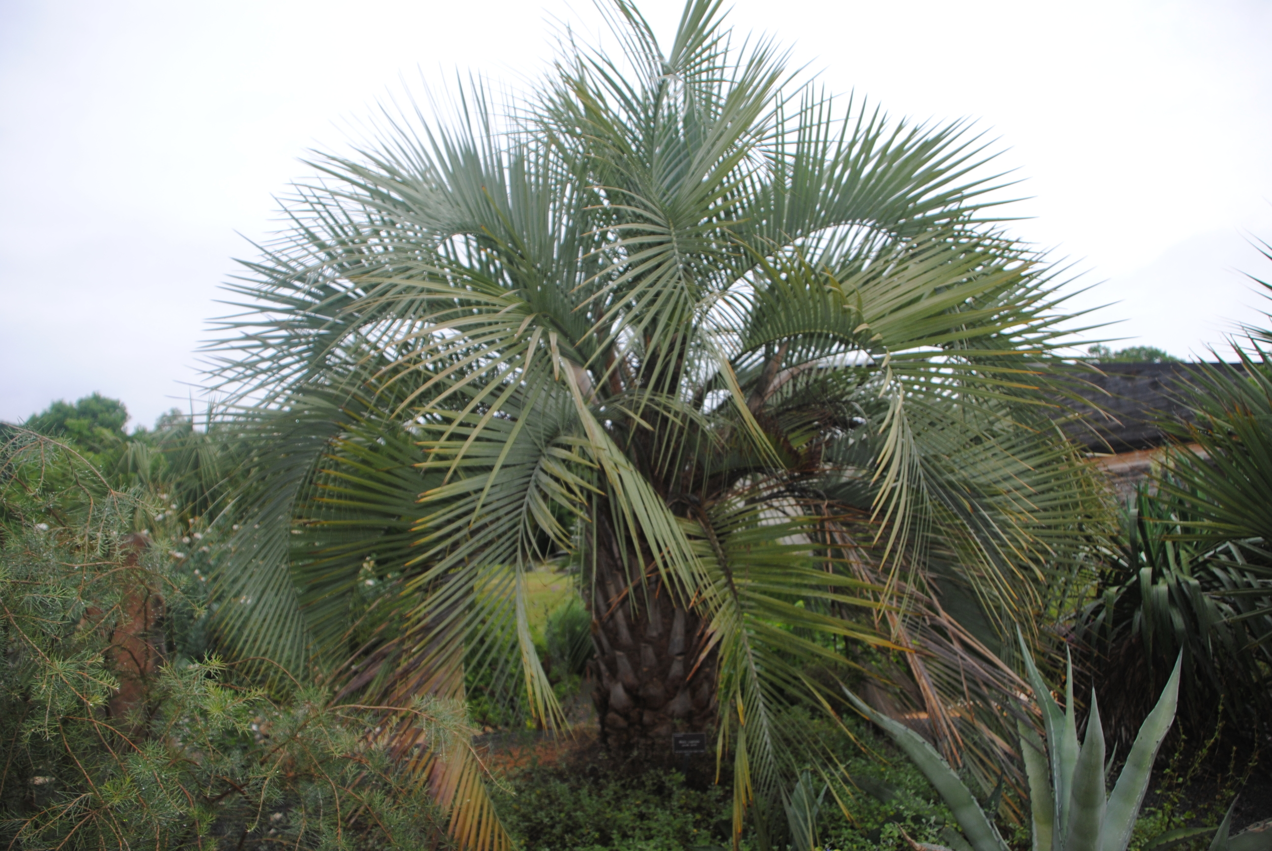 Butia has an imposing presence in the landscape.