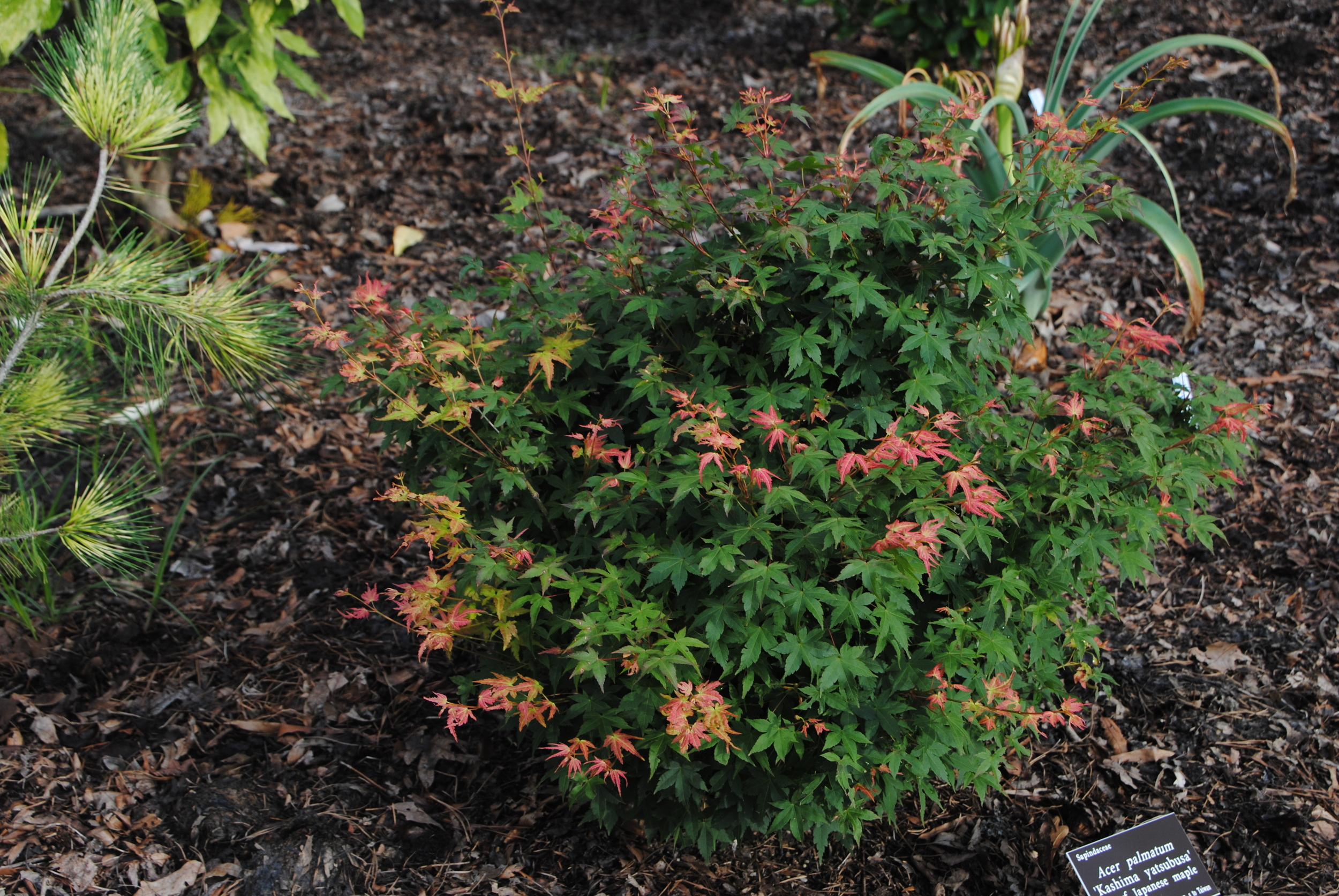 Yatsubusa in the name of a Japanese maple lets you know it will be a dwarf plant.