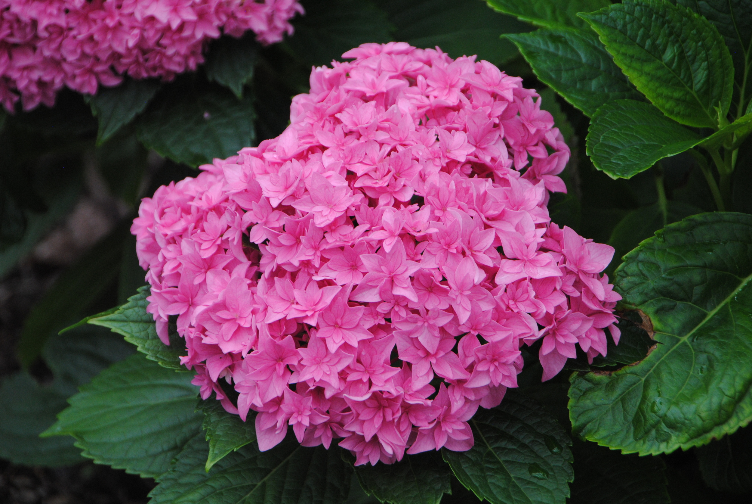 Fully double flowers make this mophead type hydrangea really stand out.