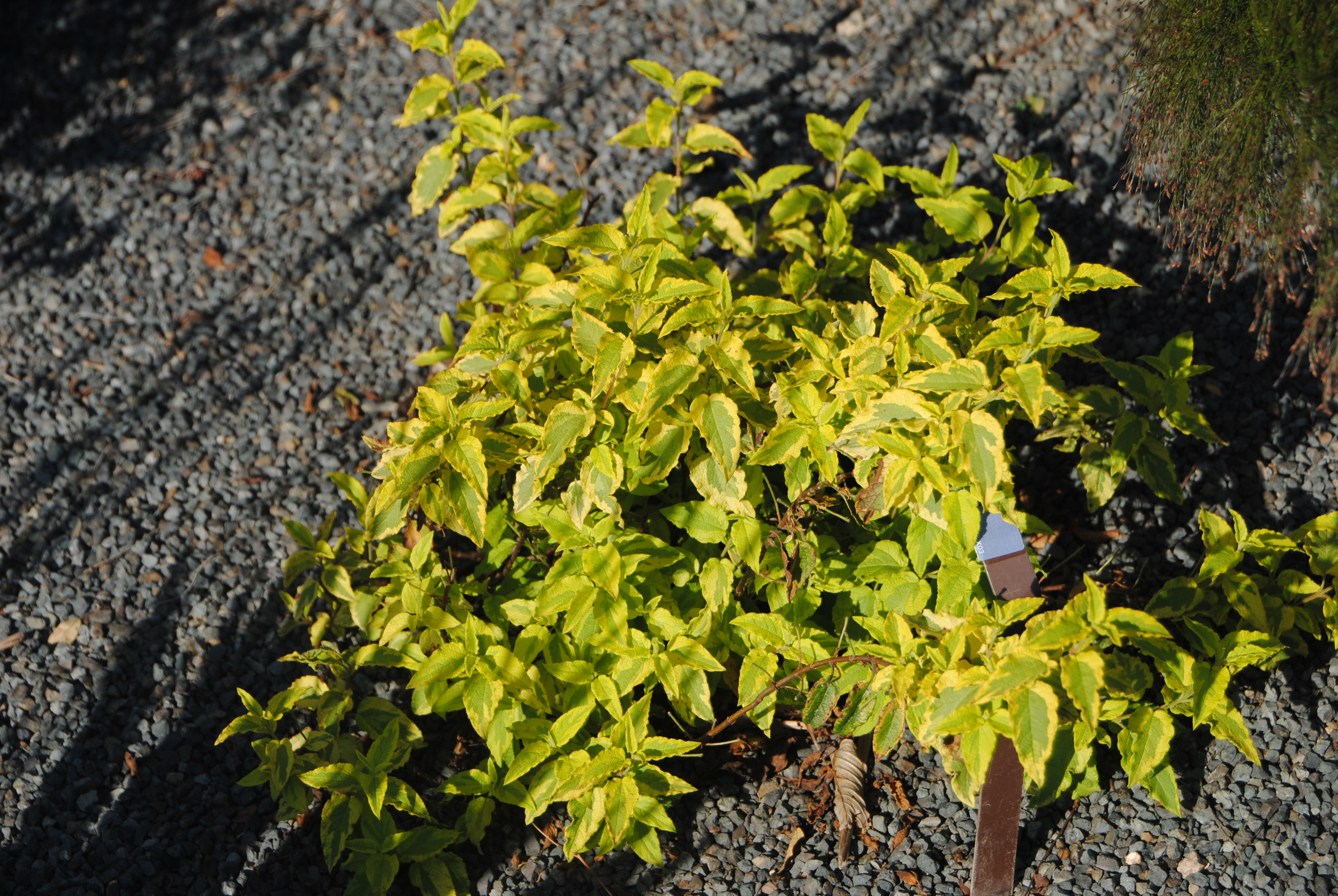 Brightly variegated foliage is hot in a well-drained spot.