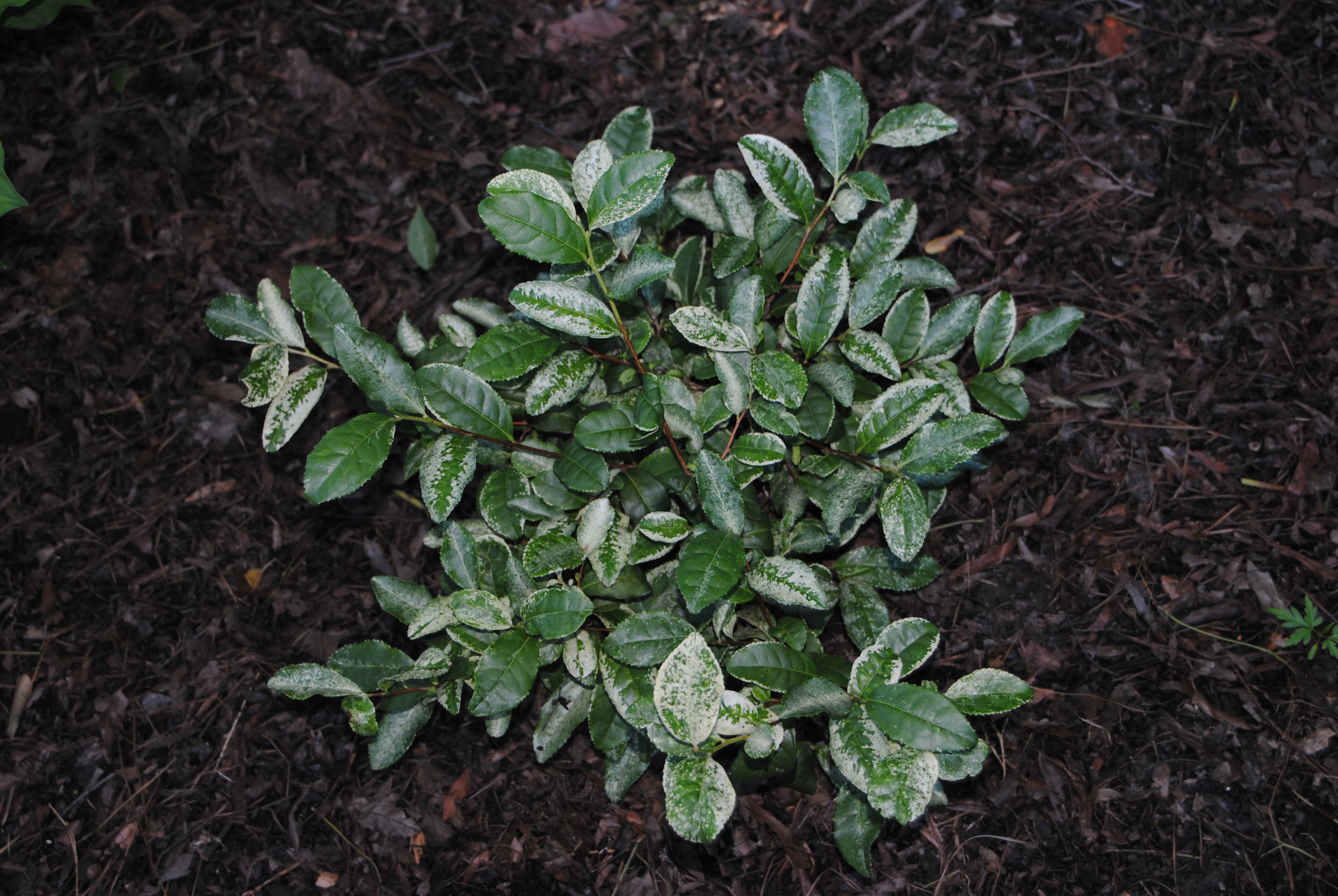 Speckled variegation on this shade-loving plant really brightens up a dim spot.