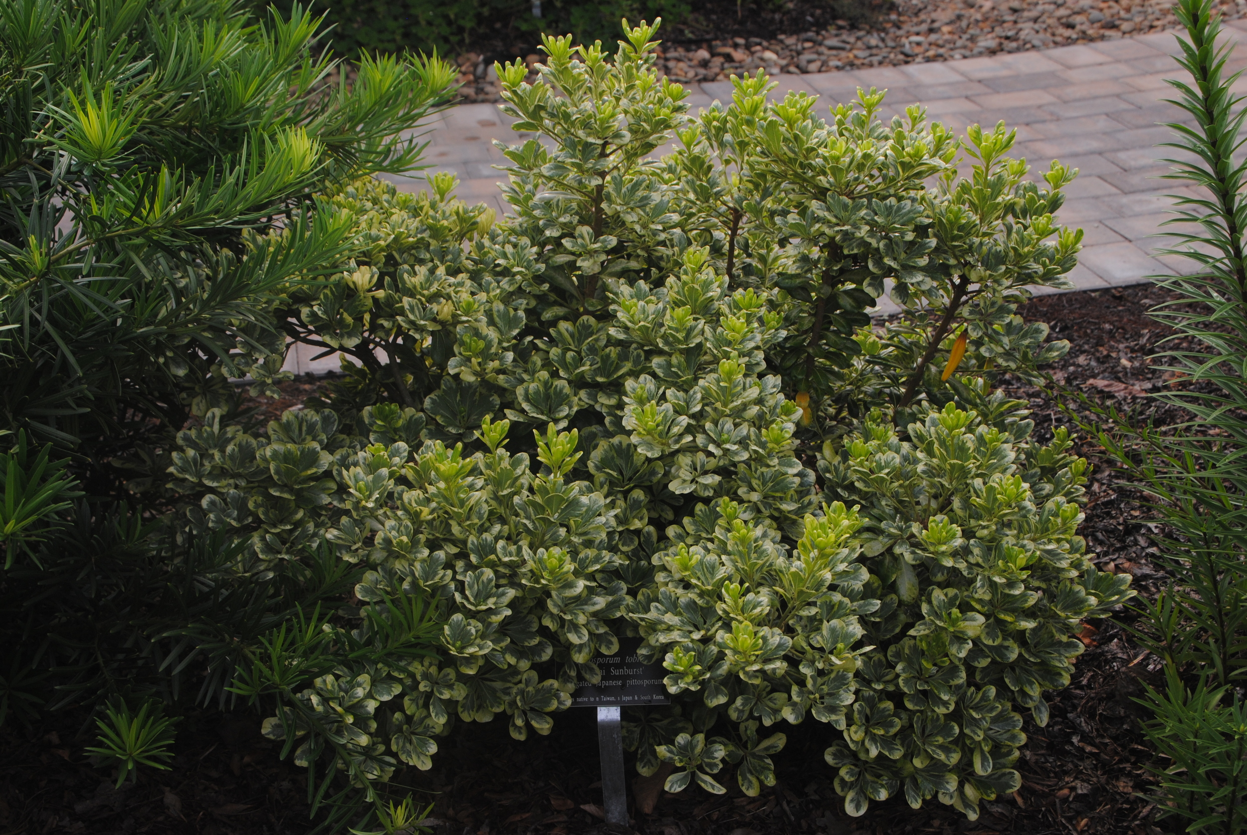 The plant makes a dense mound of brightly variegated evergreen foliage.