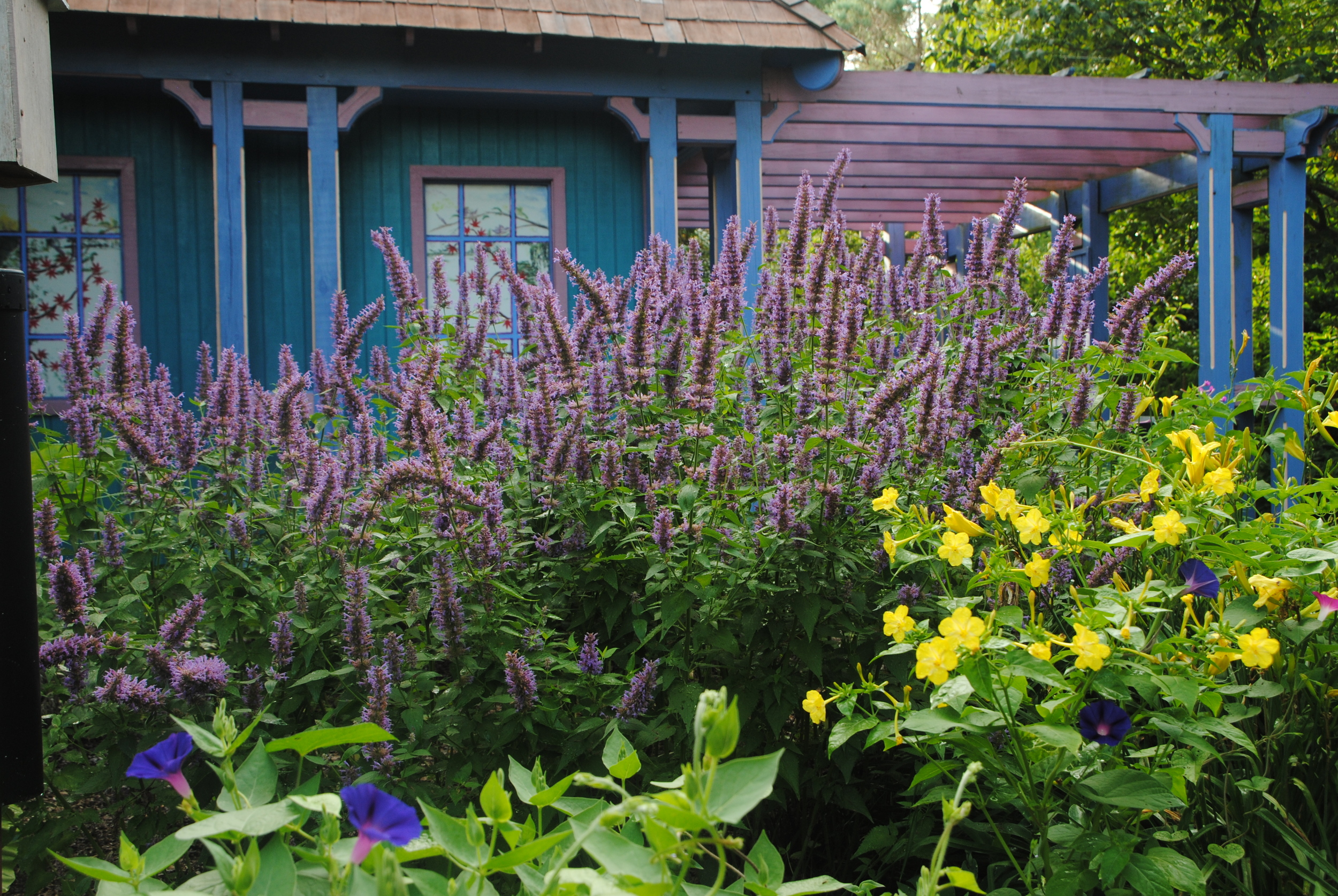 'Blue Boa' combines well with other perennials.