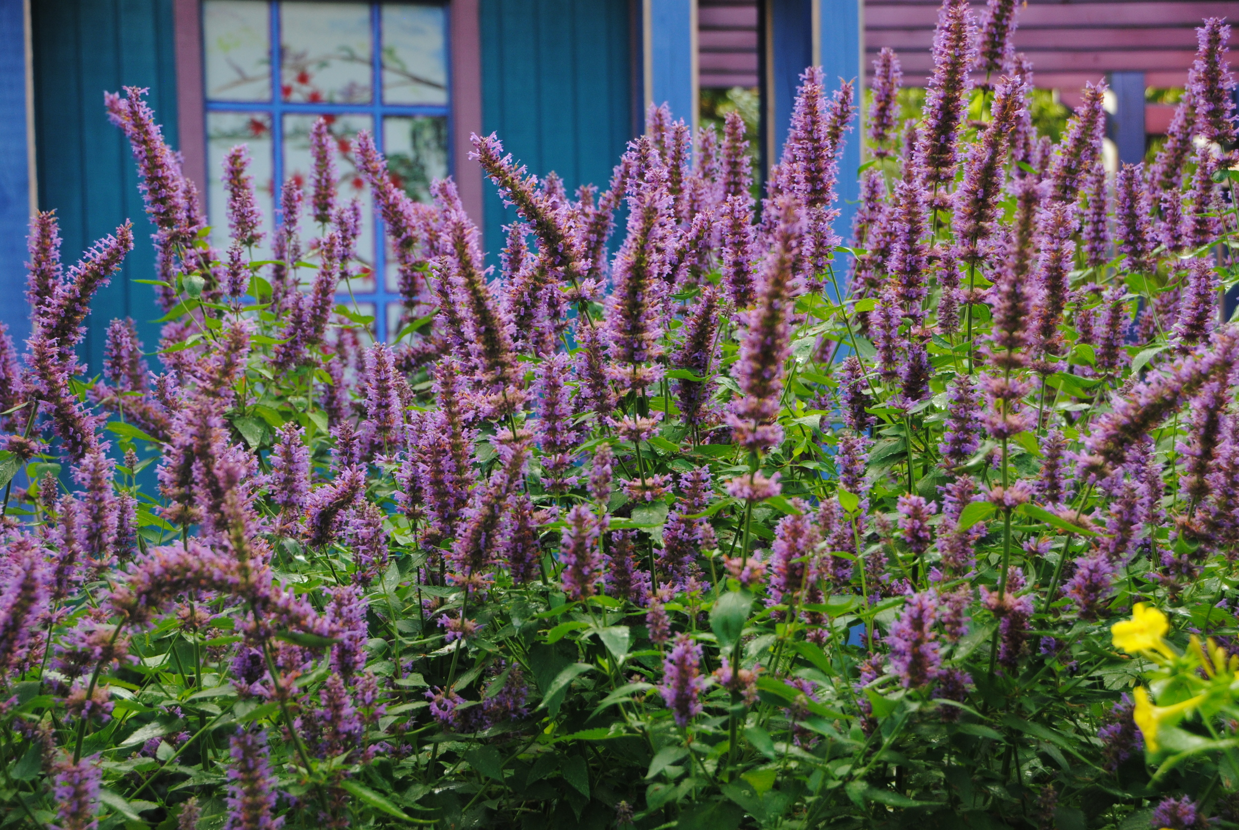 Long, dense flower heads provide great color in the garden.