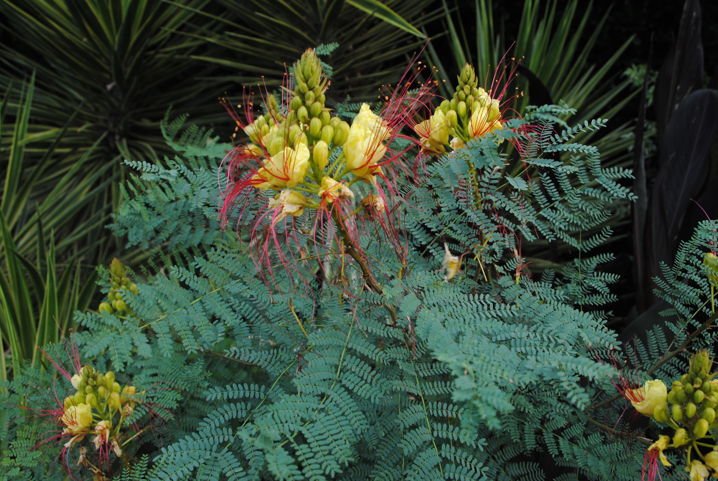 Caesalpinia gilliesii is a marginally hardy tropical looking shrub.