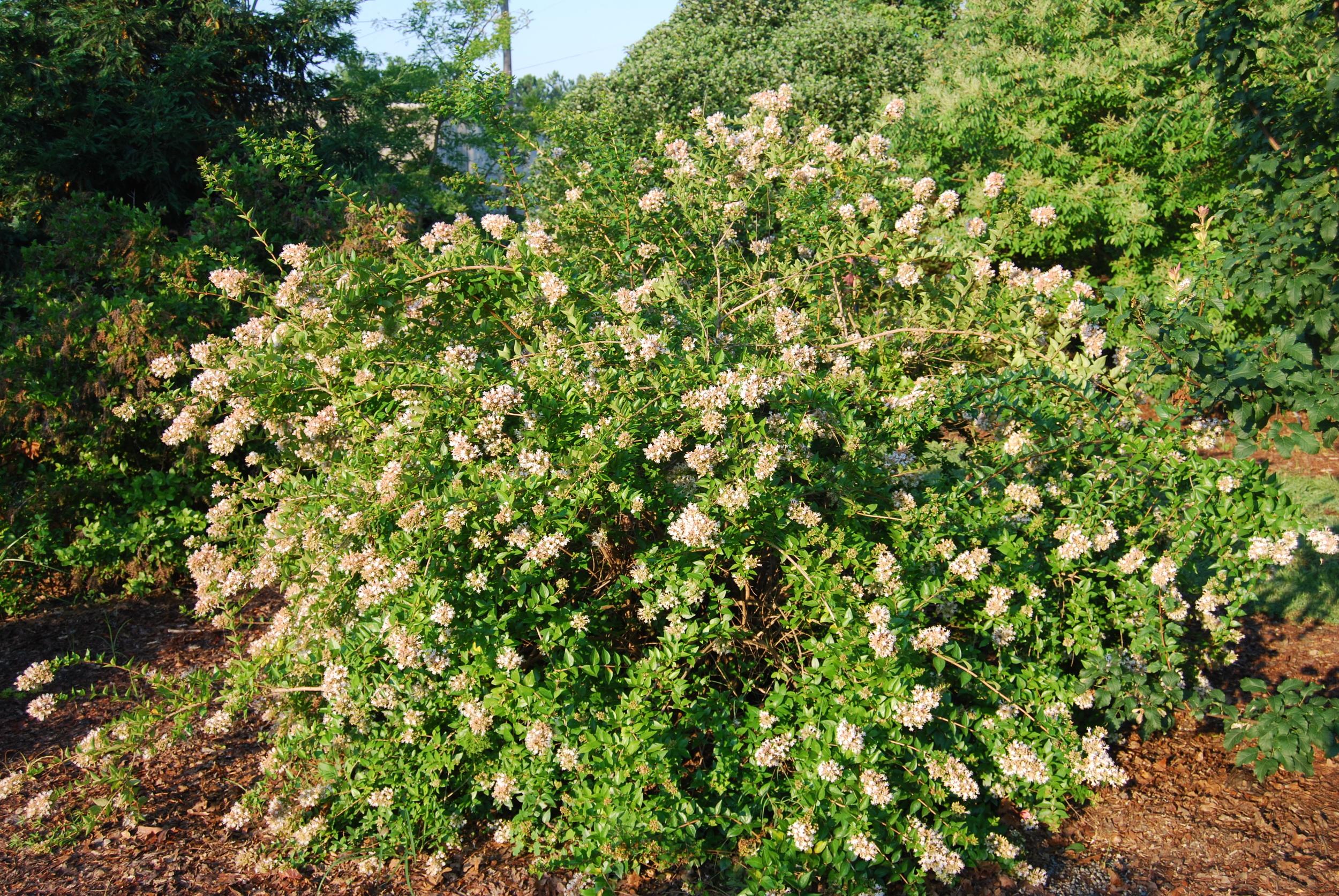 Abelia chinensis flowers all season long.
