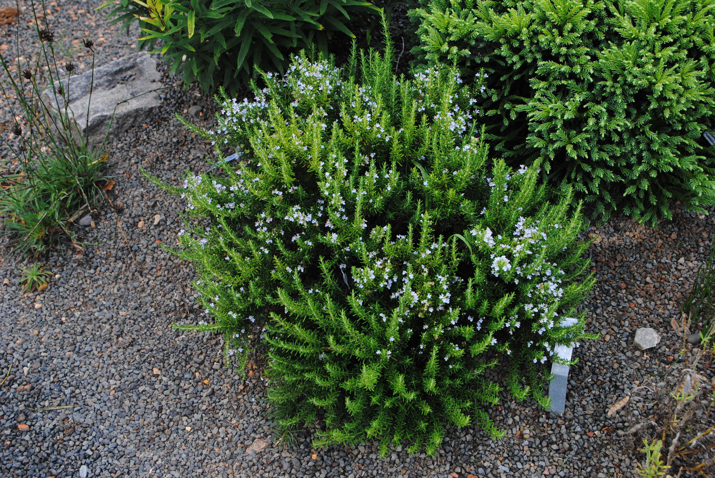 The tight, dwarf habit of this rosemary makes it perfect for containers and small gardens.