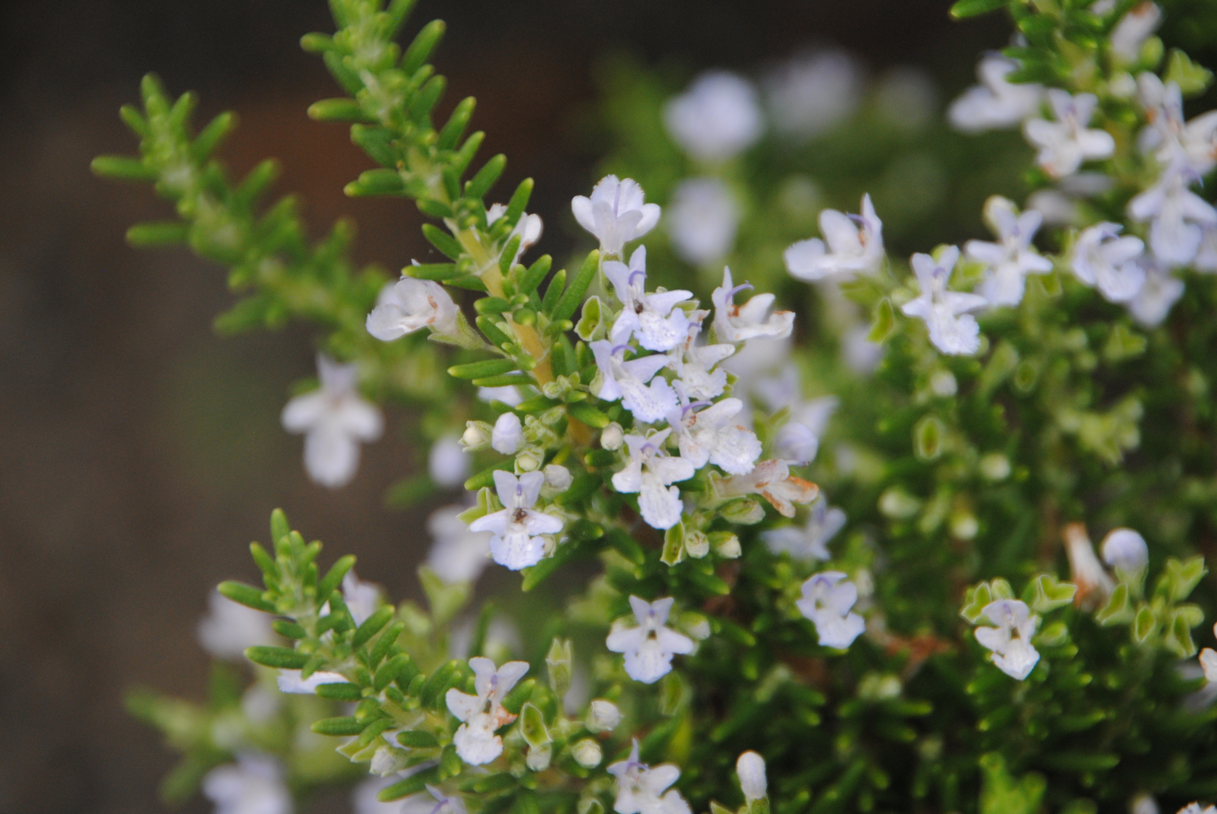 Tiny leaves add a dwarf conifer-like texture and have the typical fresh aroma of rosemary.