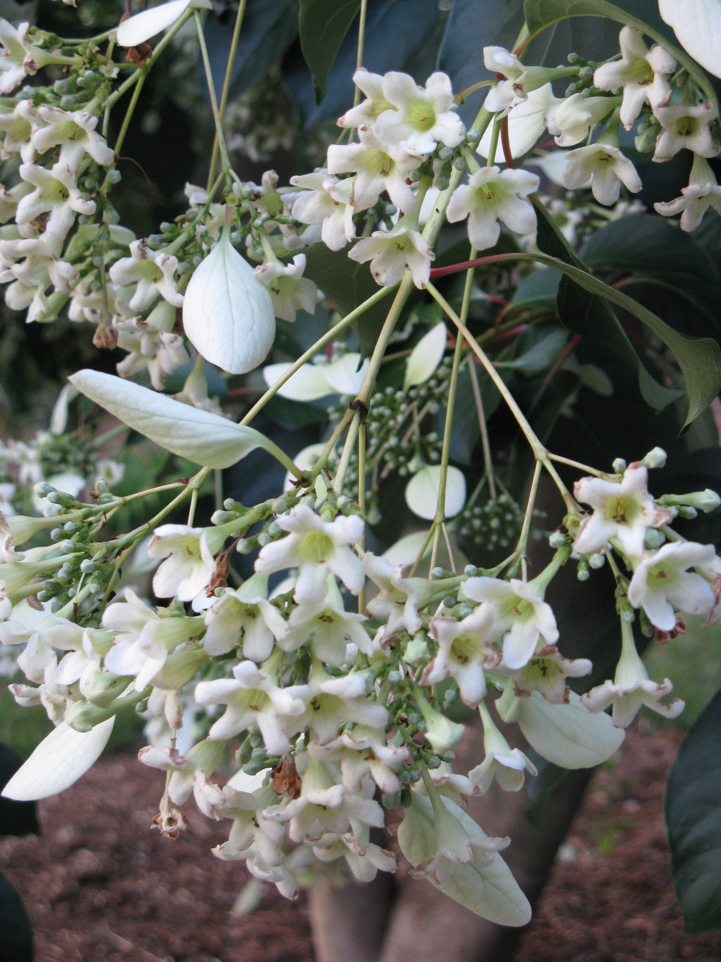 Fragrant, waxy bells are surrounded by large white bracts.