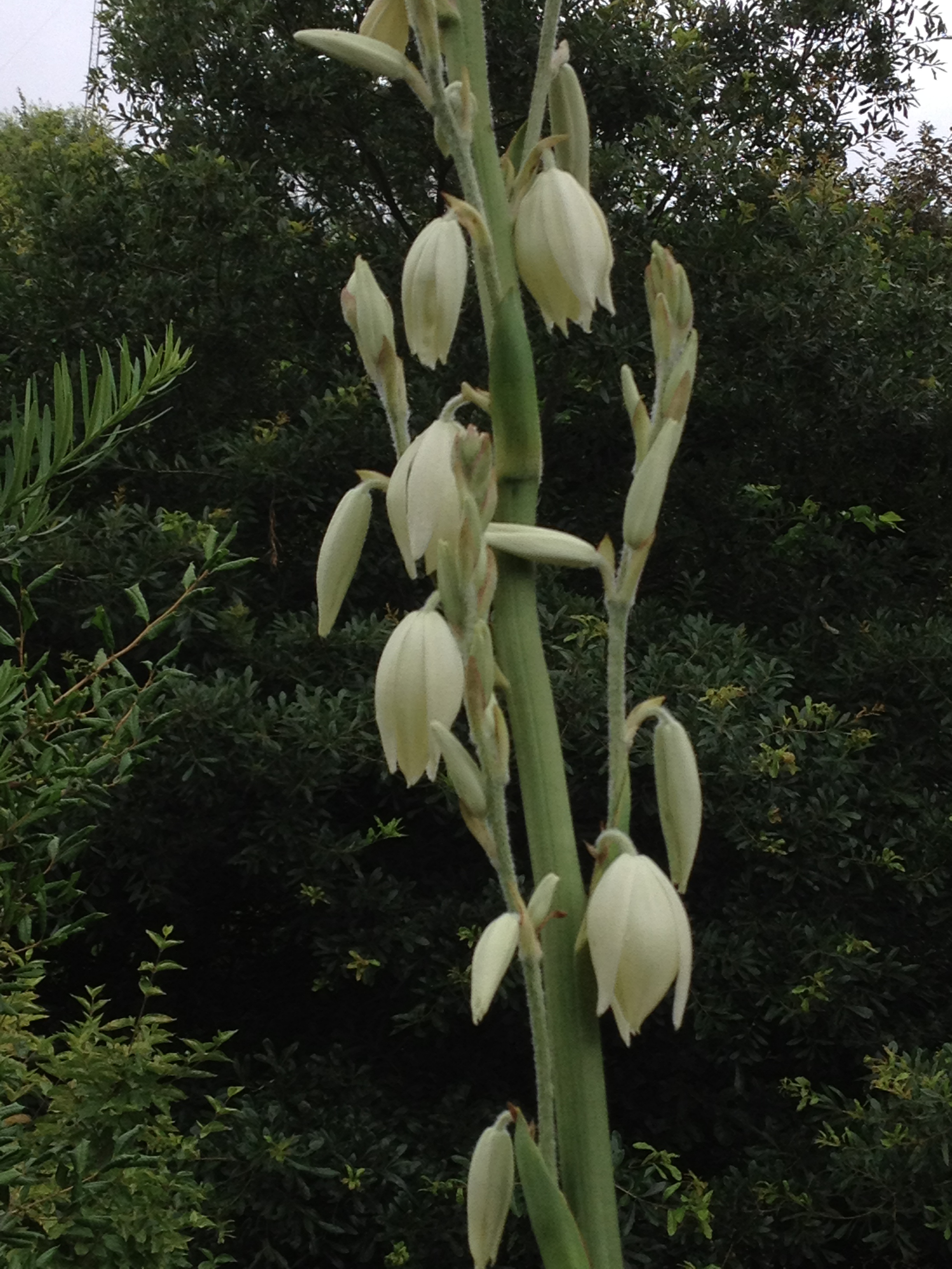 Large flowers on tall spikes make this an attractive flowering plant.
