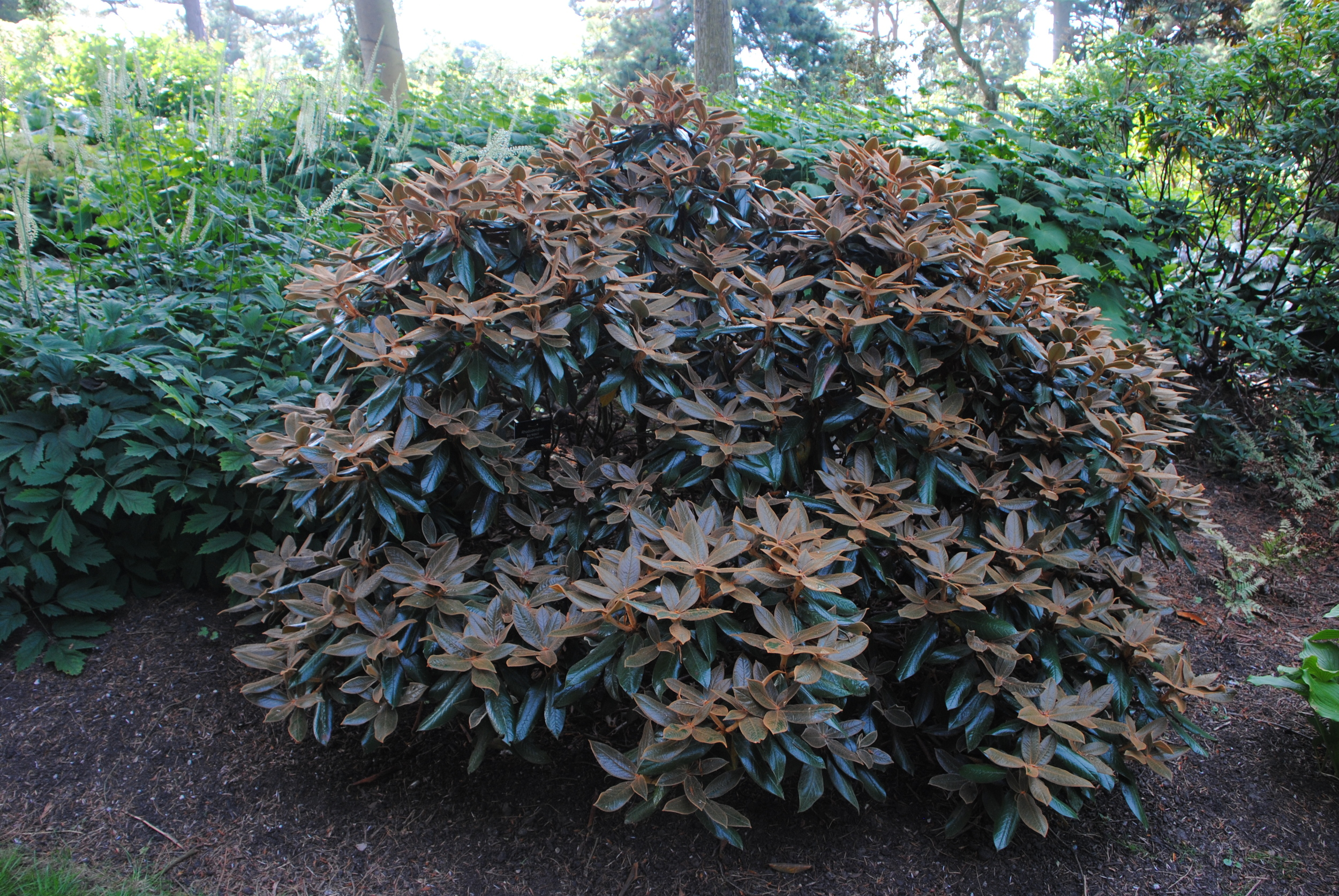 Who needs flowers with Rhododendron bureavii's rusty-haired new foliage.