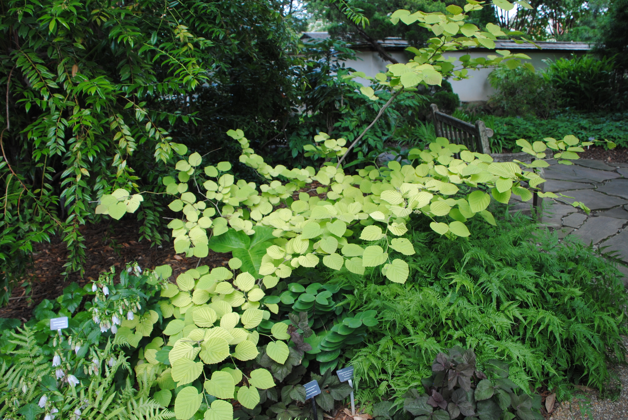 The yellow color in early summer blends well with the greens in a lightly shaded garden.