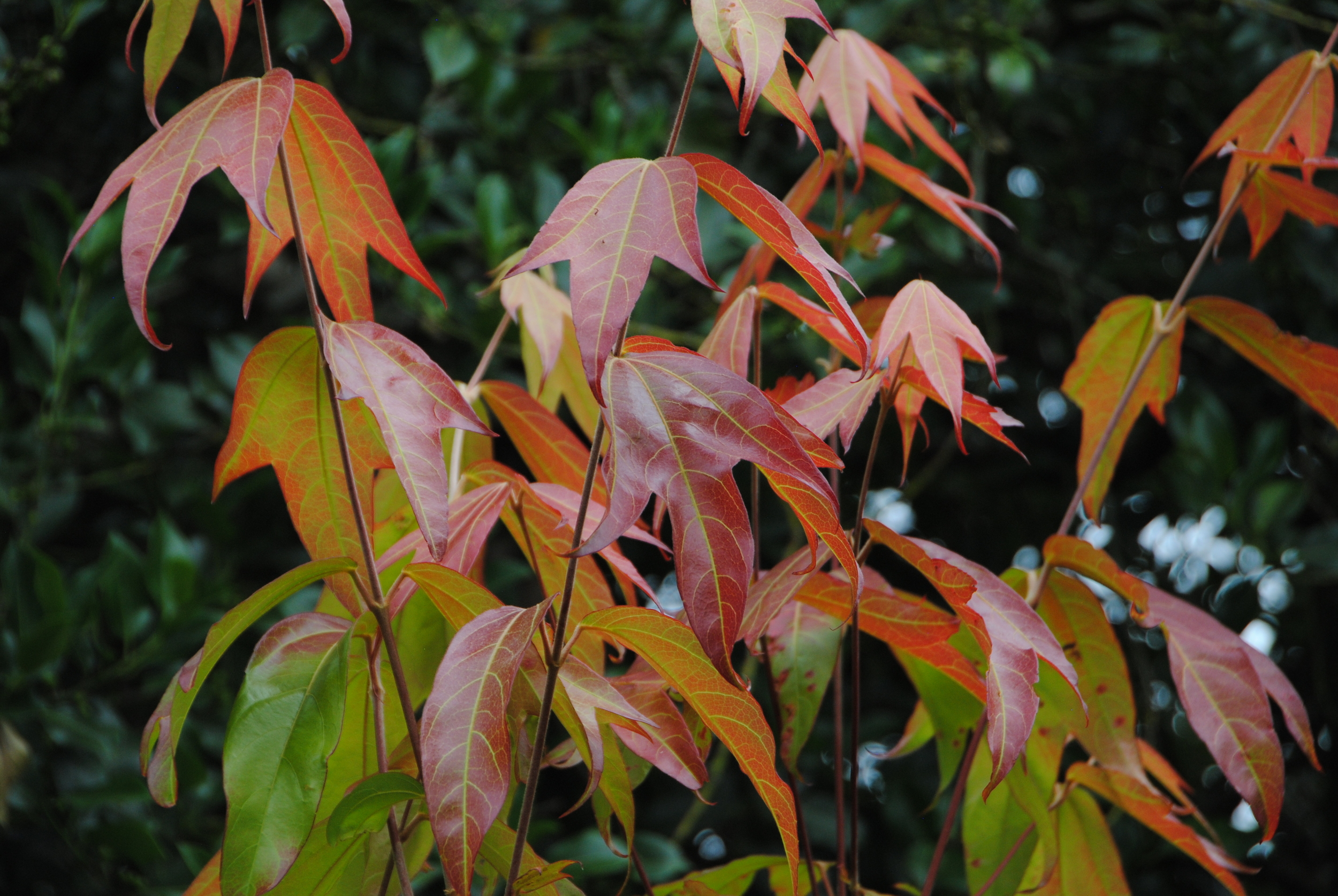 The gorgeous foliage of Acer tonkinense subsp. liquidambarifolium is drool-worthy but unfortunately regulations prohited me from bringing it to the US.