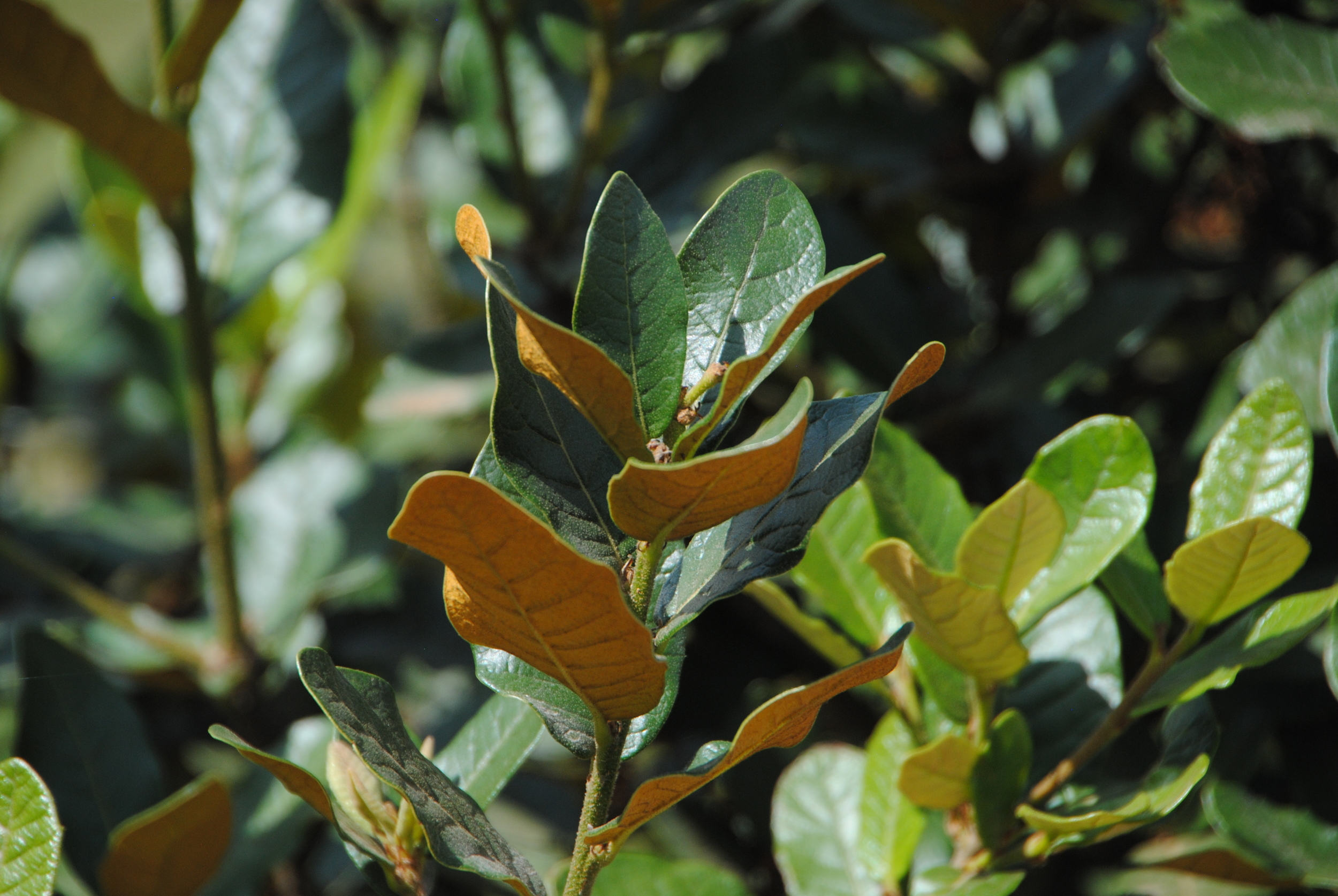 The small evergreen oak, Quercus guajavifolia was beautiful with leathery green leaves and rusty orange backs.