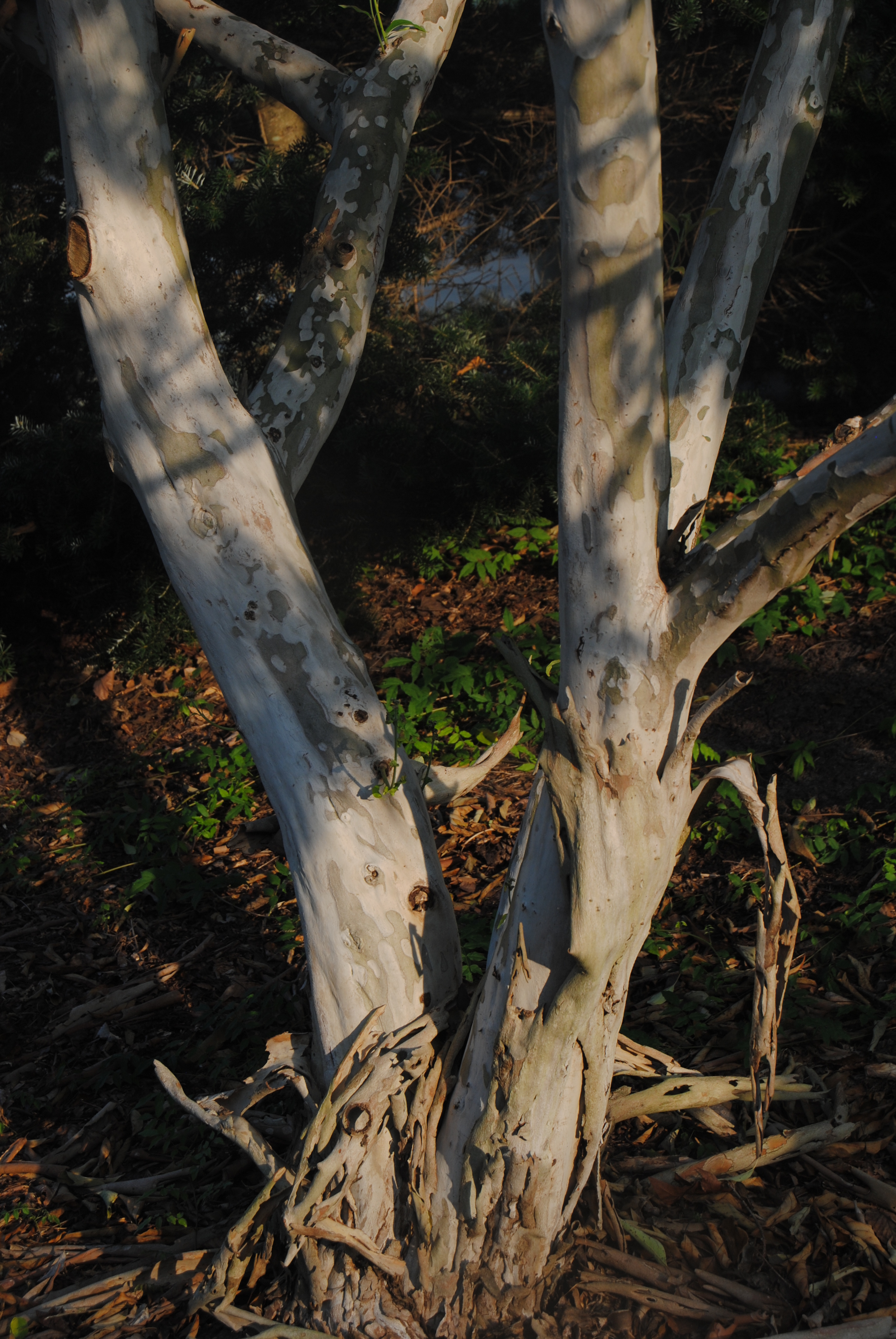 The peeling bark on the JCRA's tree.