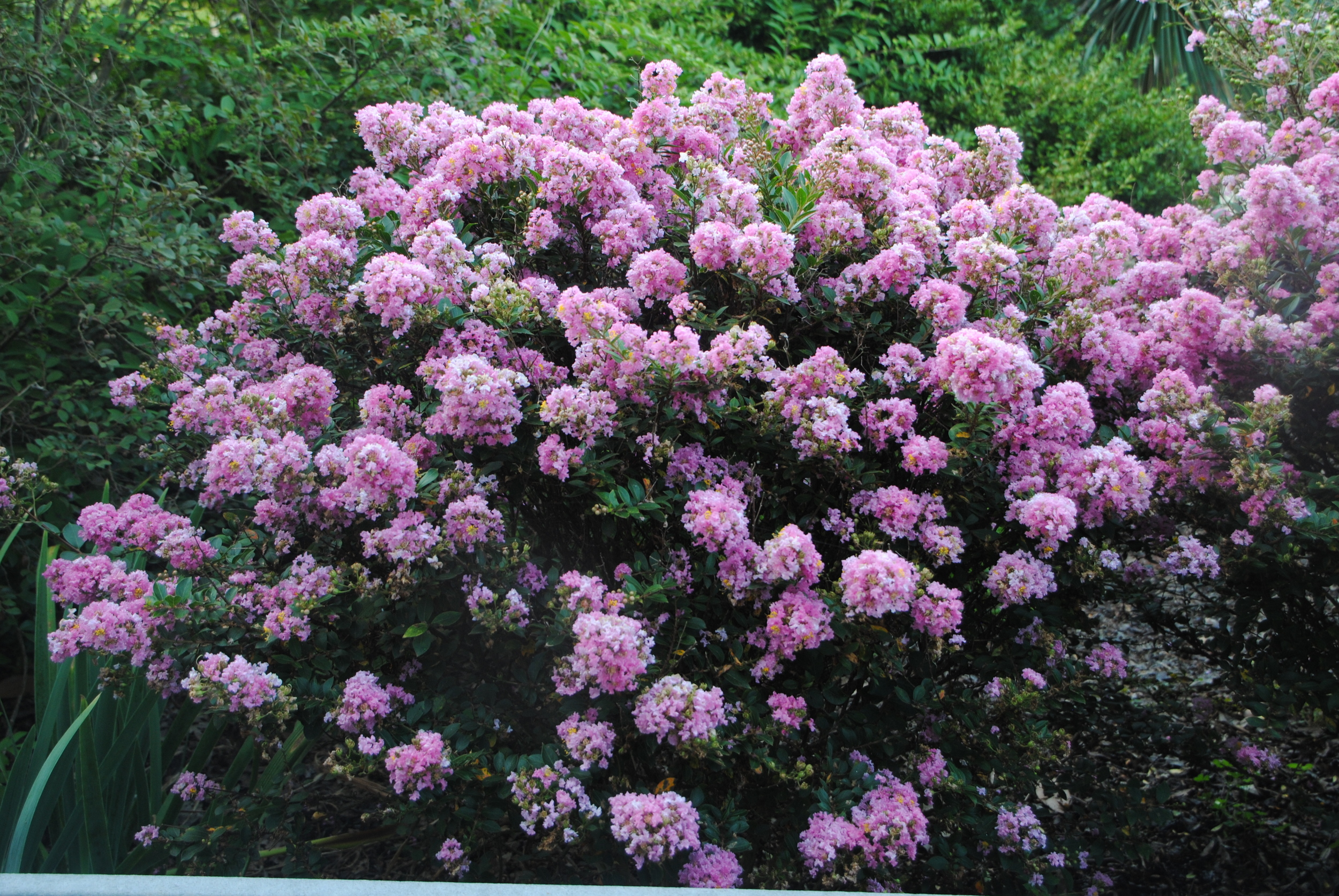 'Gamad V' makes a very uniform shrub, attractive in all seasons.