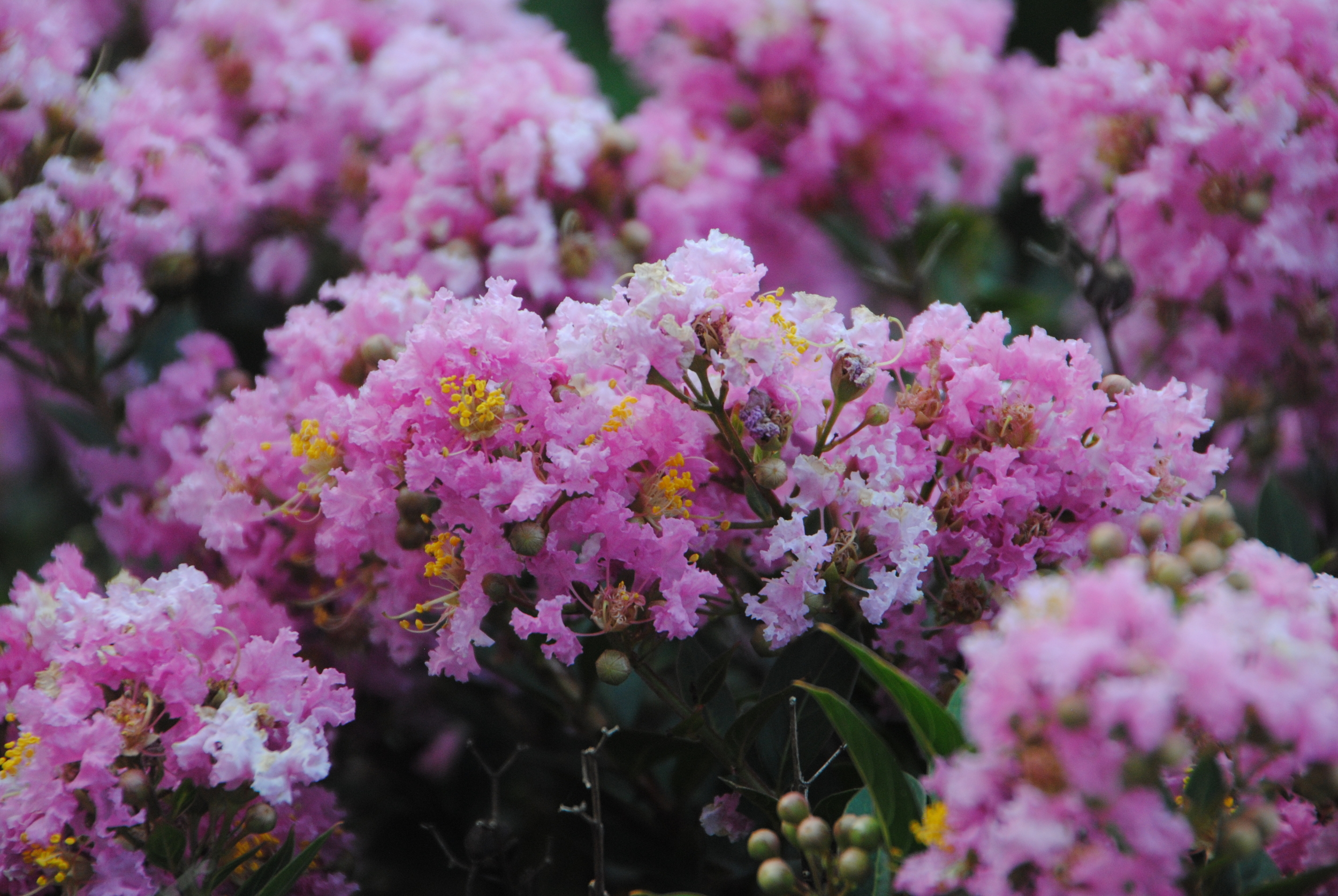 Masses of frothy pink flowers cover the plant like cotton candy.