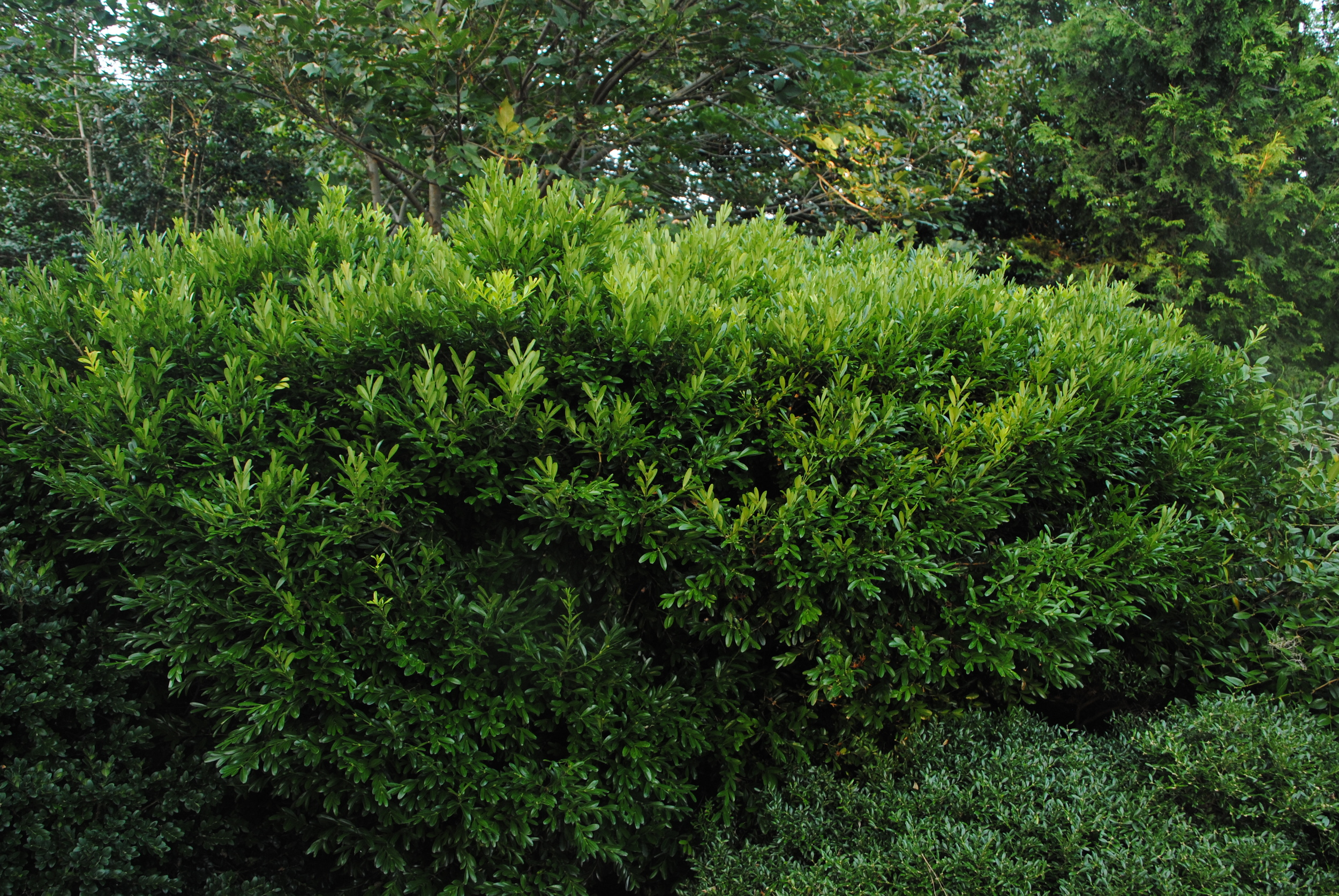 This boxwood species is one of the most distinctive.