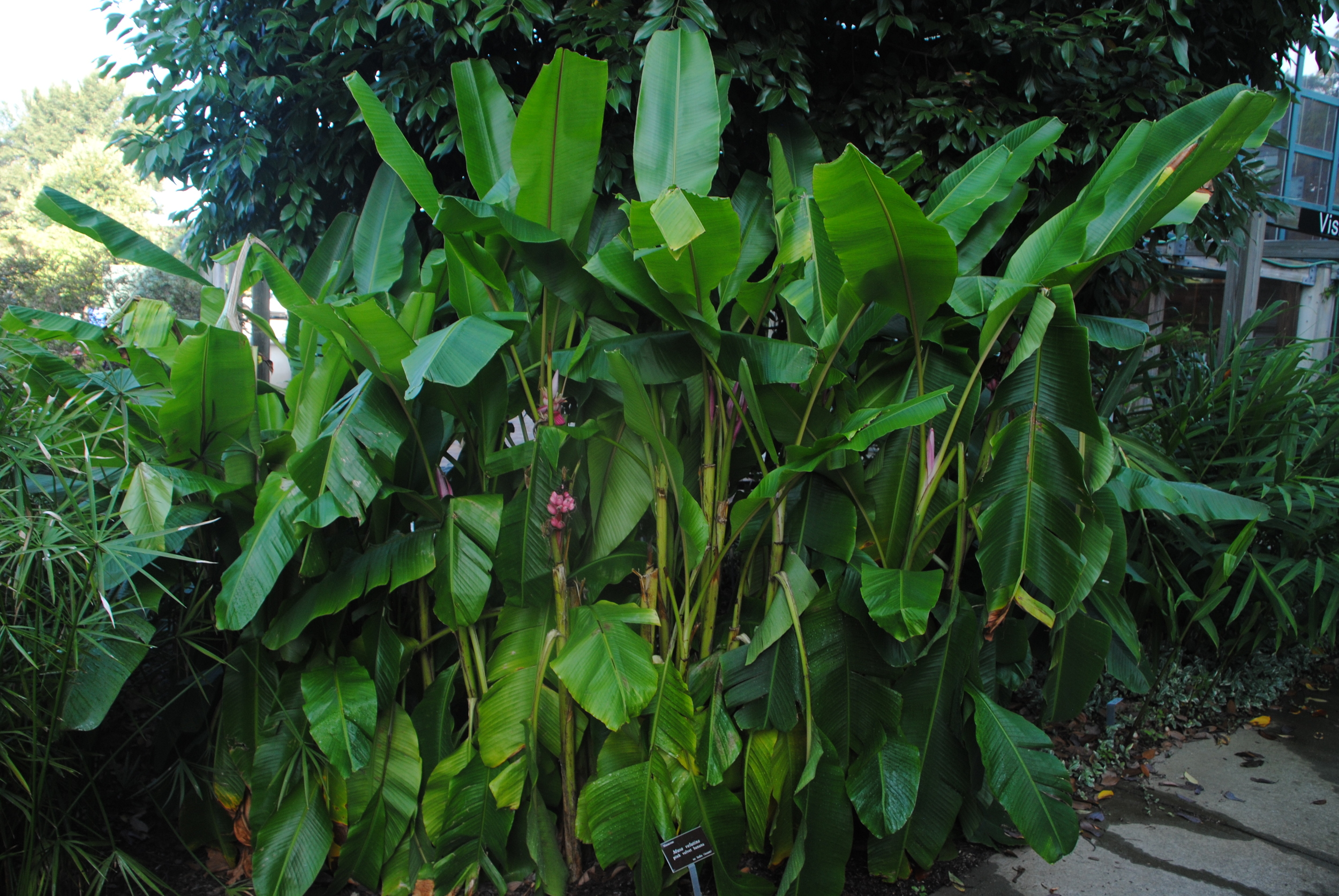A sizeable clump of Musa velutina growing near the Bobby Wilder Visitor Center.