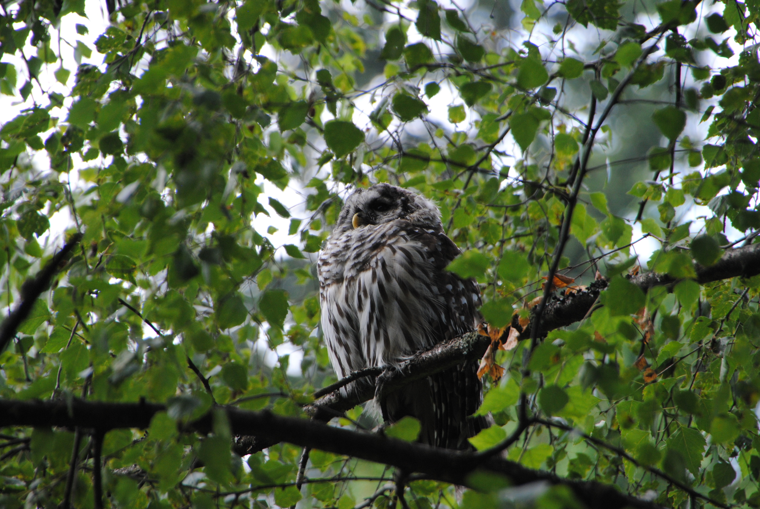 Barred owl at Van Dusen.