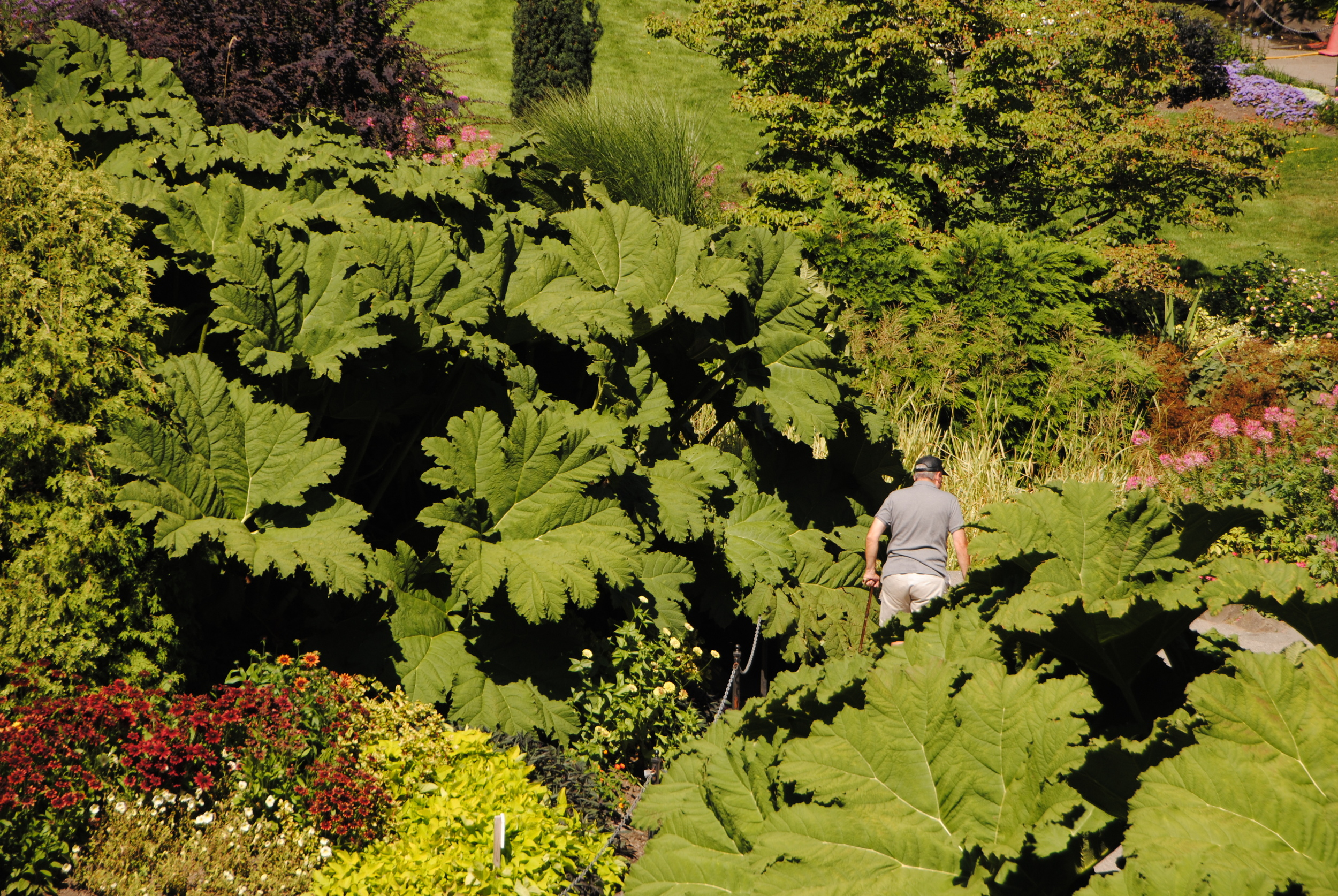 The obligatory Gunnera shot that us east coasters can't resist.