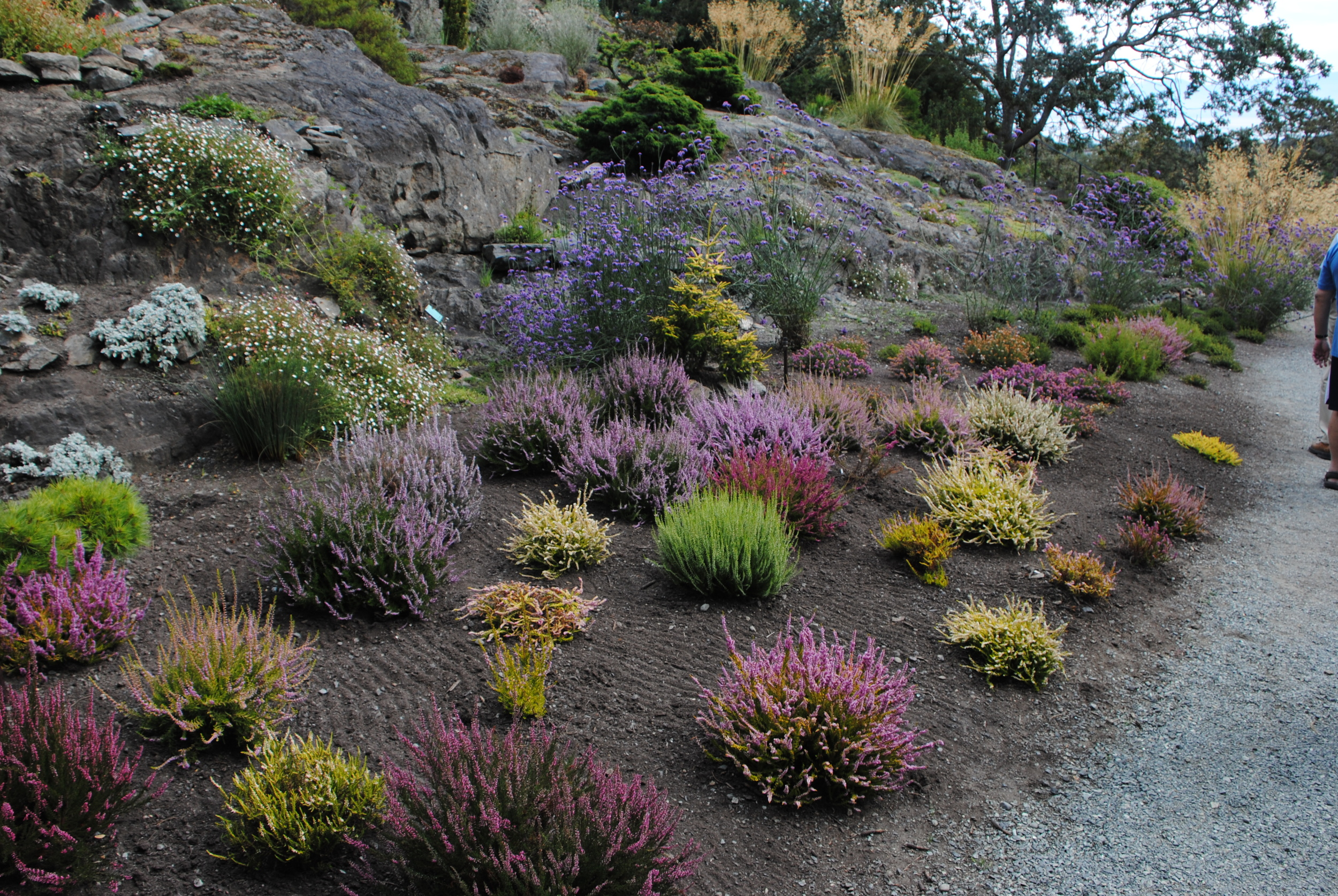 A newly planted heath garden below the rock garden.
