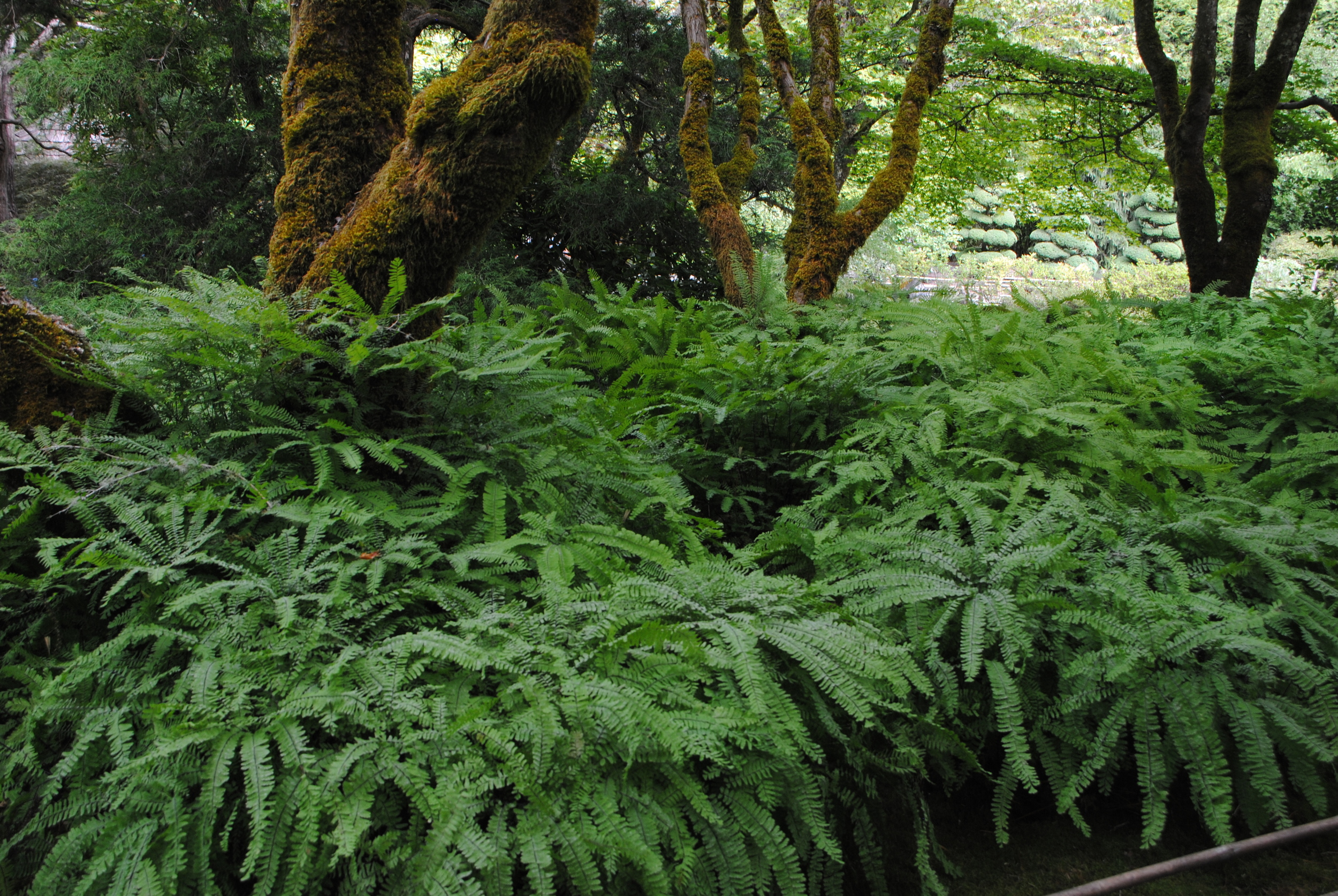 Massive maidenhair ferns in the Japanese Garden.