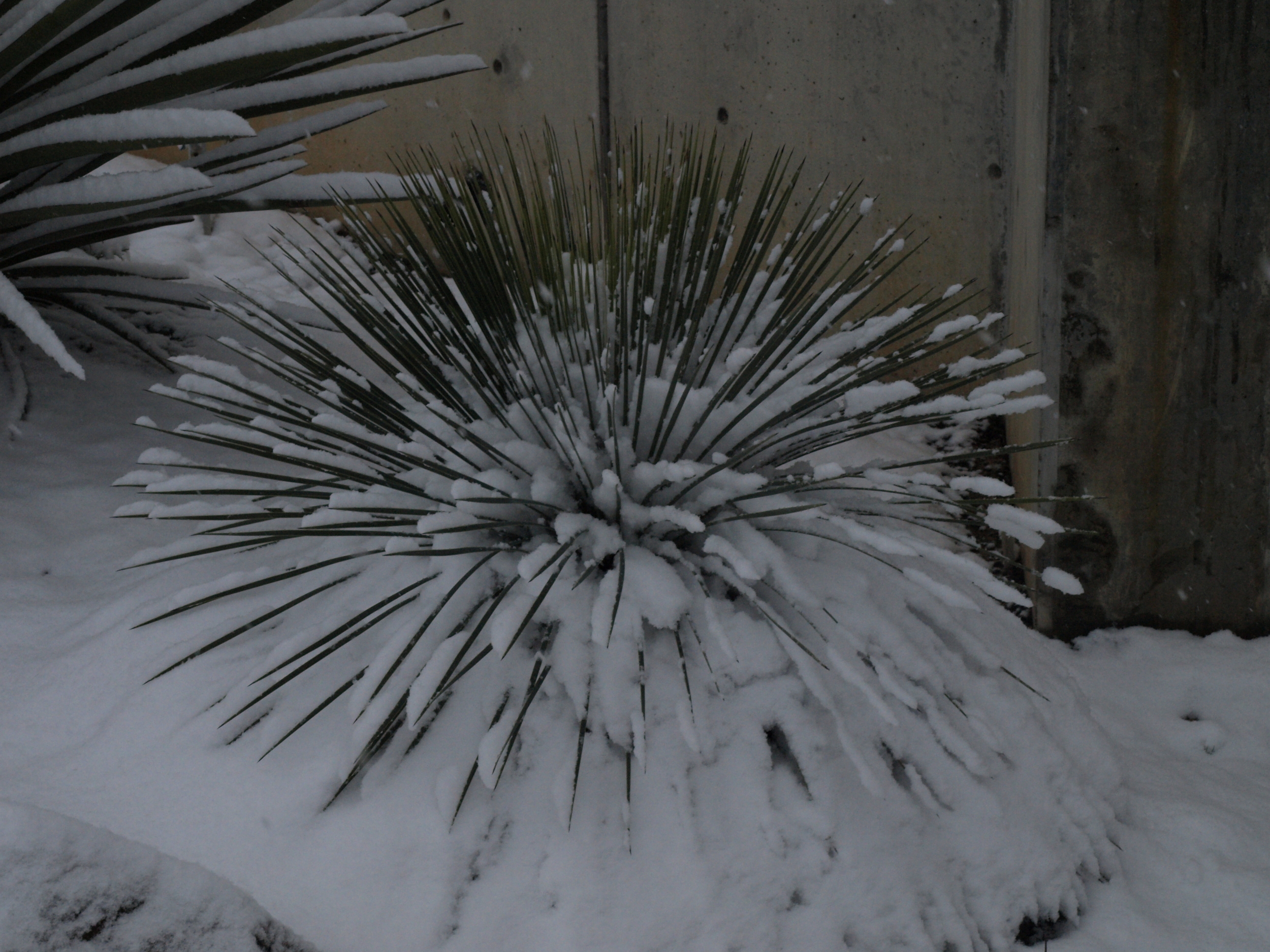 Our plant under snow after 3 years in the ground from a quart pot.