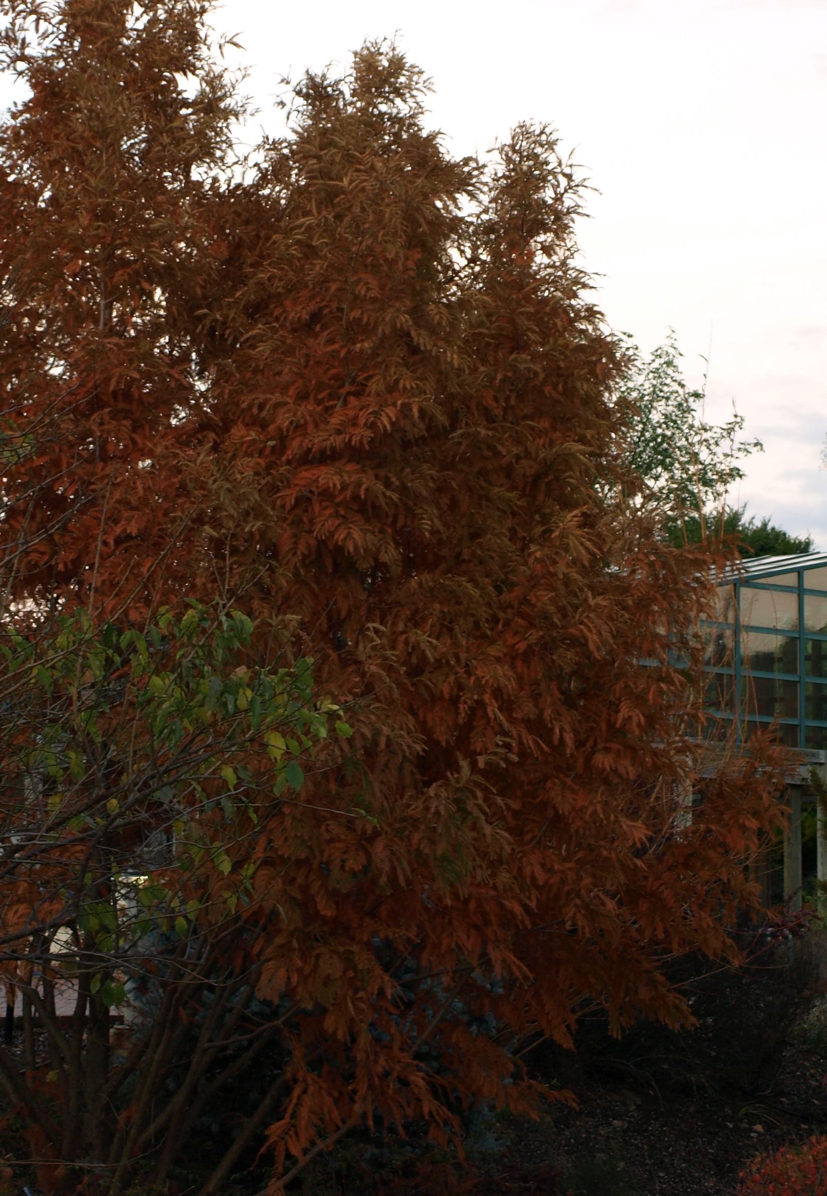 Fall color on this deciduous conifer can be spectacular.