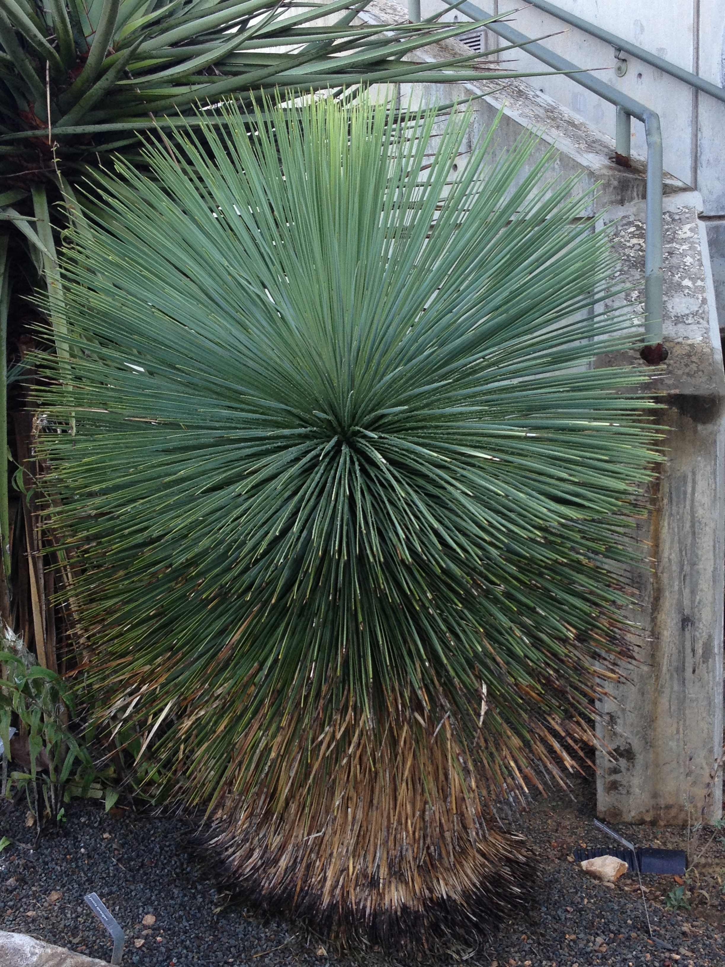 The incredible form of this tree yucca makes a strong statement in the landscape.
