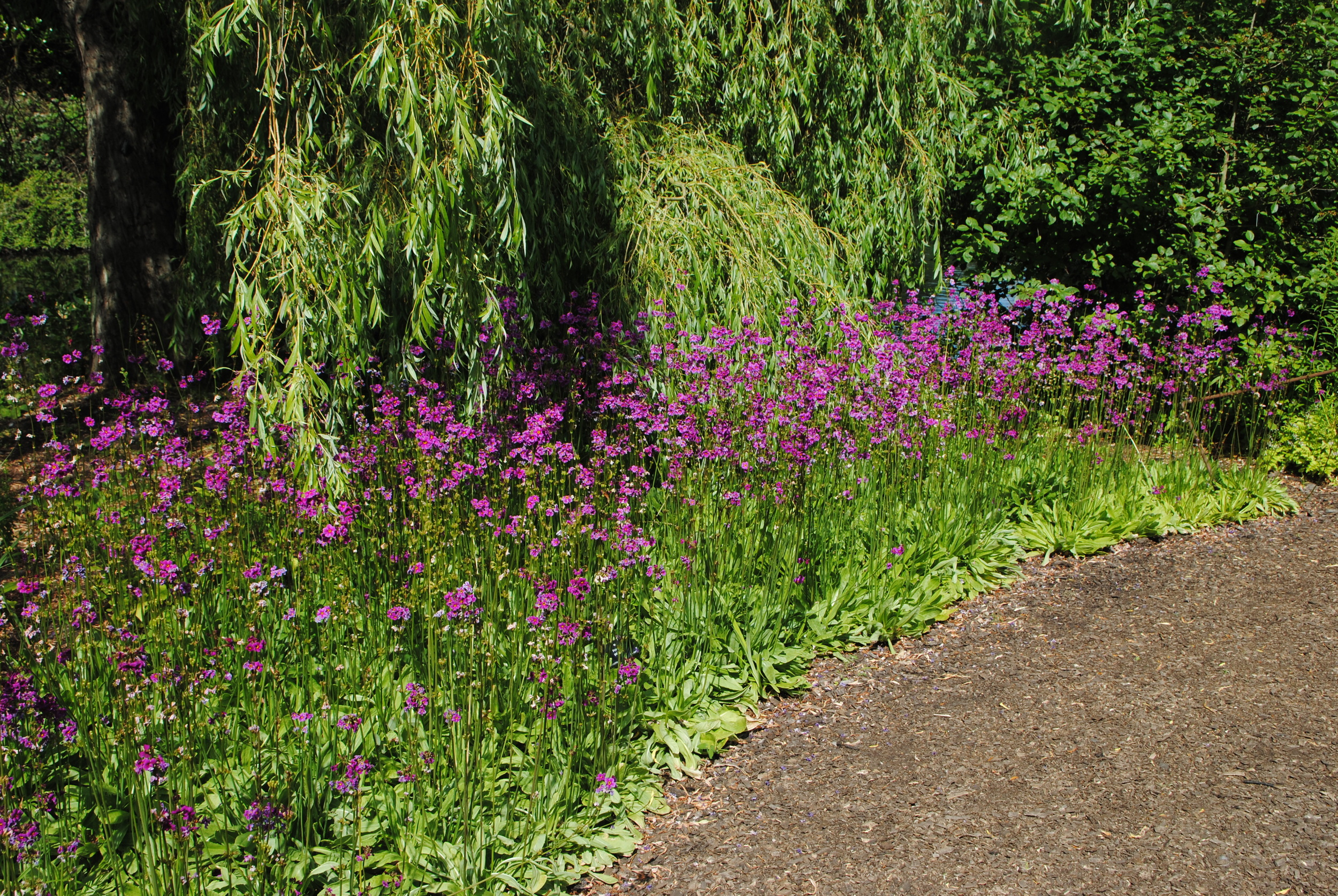 A border of Primula poissonii near a pond.
