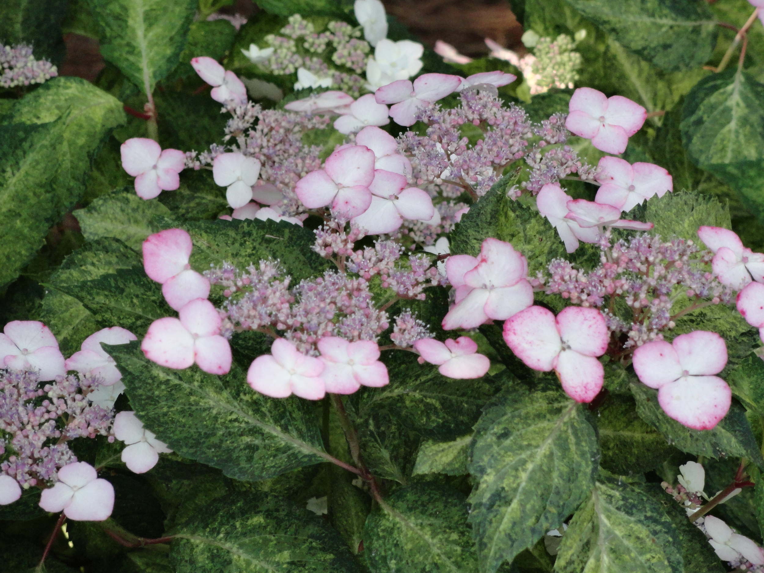 Pink lacecaps and speckled variegation make this plant a winner.