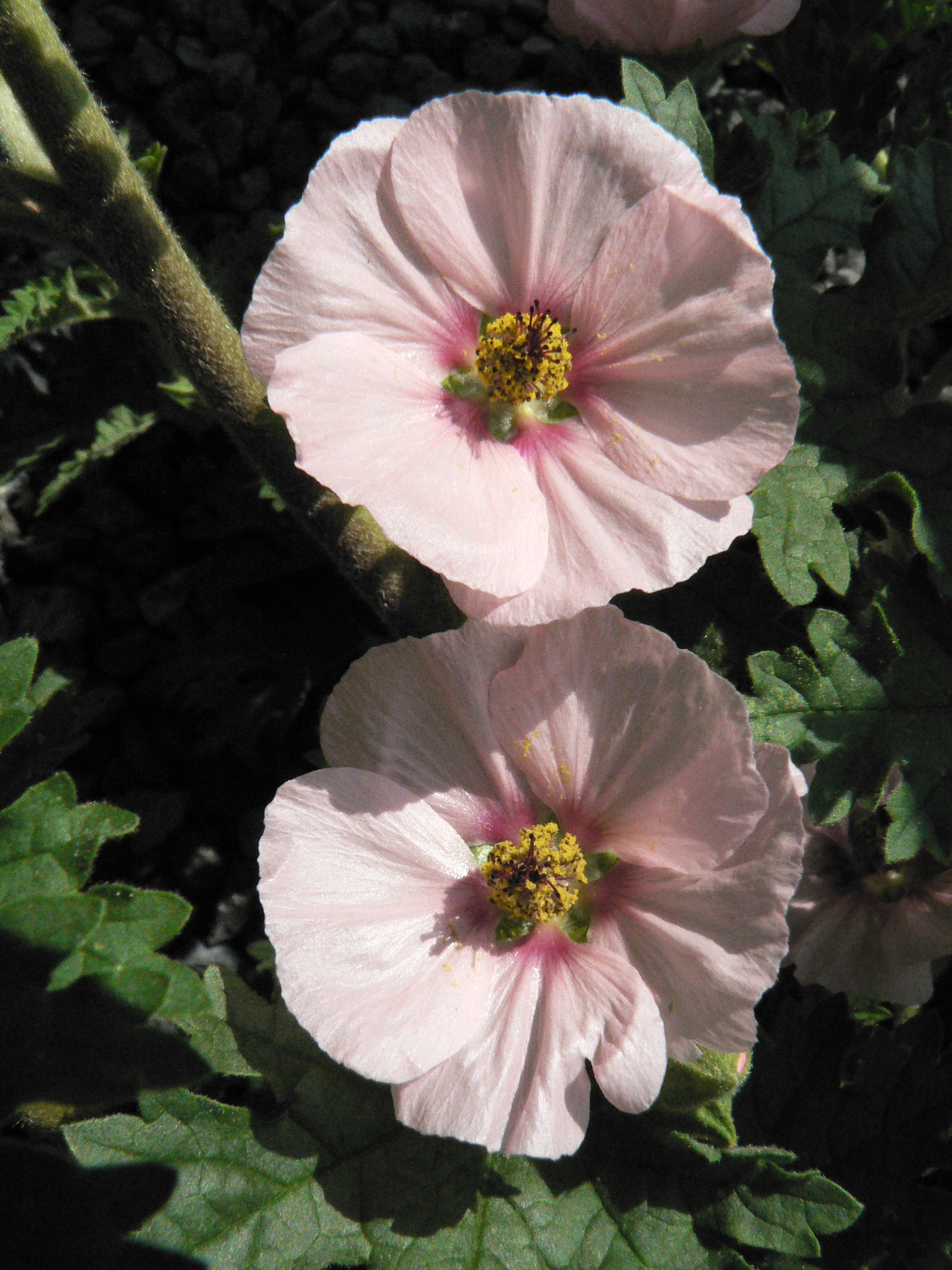 Pink hibiscus-type flowers are quite lovely.